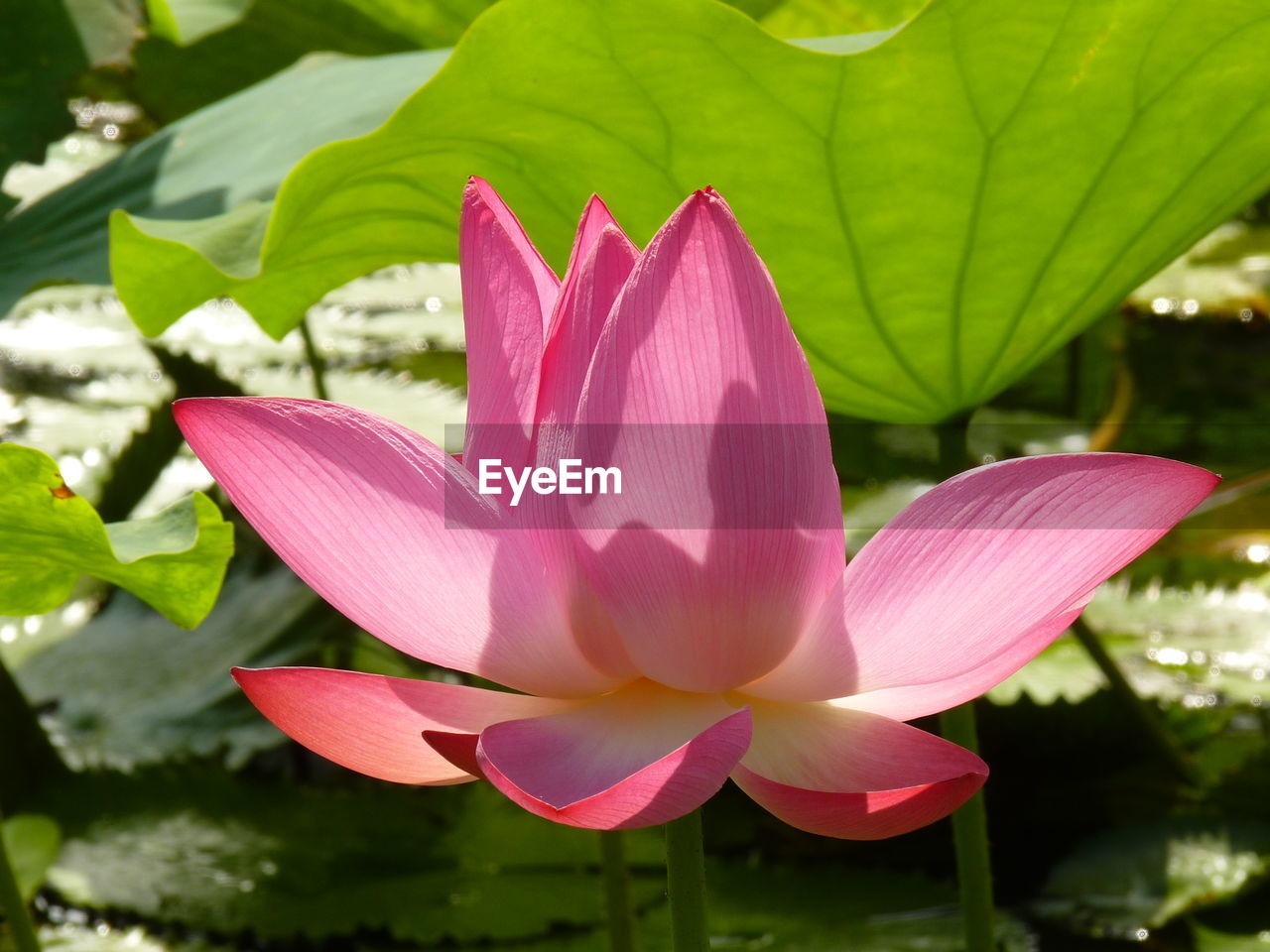 flower, petal, beauty in nature, fragility, nature, pink color, freshness, flower head, growth, no people, close-up, lotus water lily, leaf, plant, lotus, day, water, outdoors, blooming
