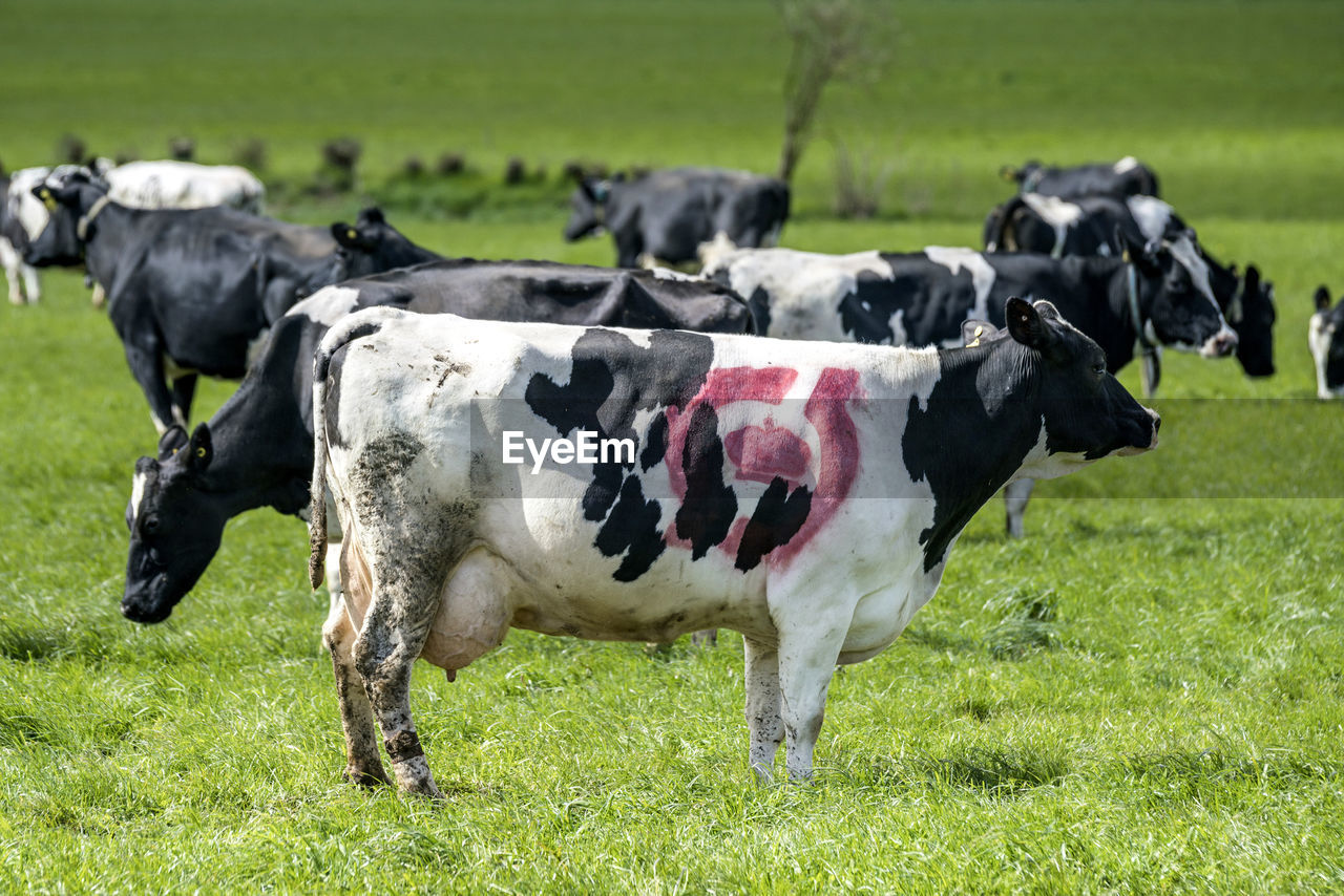 grass, domestic animals, livestock, mammal, domestic, field, animal themes, animal, cattle, land, plant, cow, pets, group of animals, vertebrate, nature, green color, domestic cattle, landscape, no people, outdoors, herbivorous