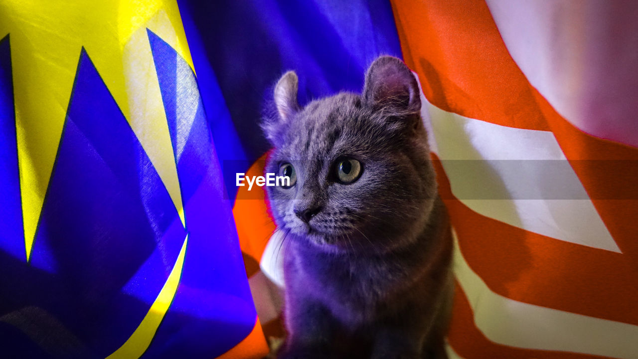 animal themes, pets, cat, animal, domestic, mammal, domestic cat, one animal, feline, domestic animals, vertebrate, close-up, indoors, portrait, looking at camera, no people, flag, whisker, striped, focus on foreground, animal head