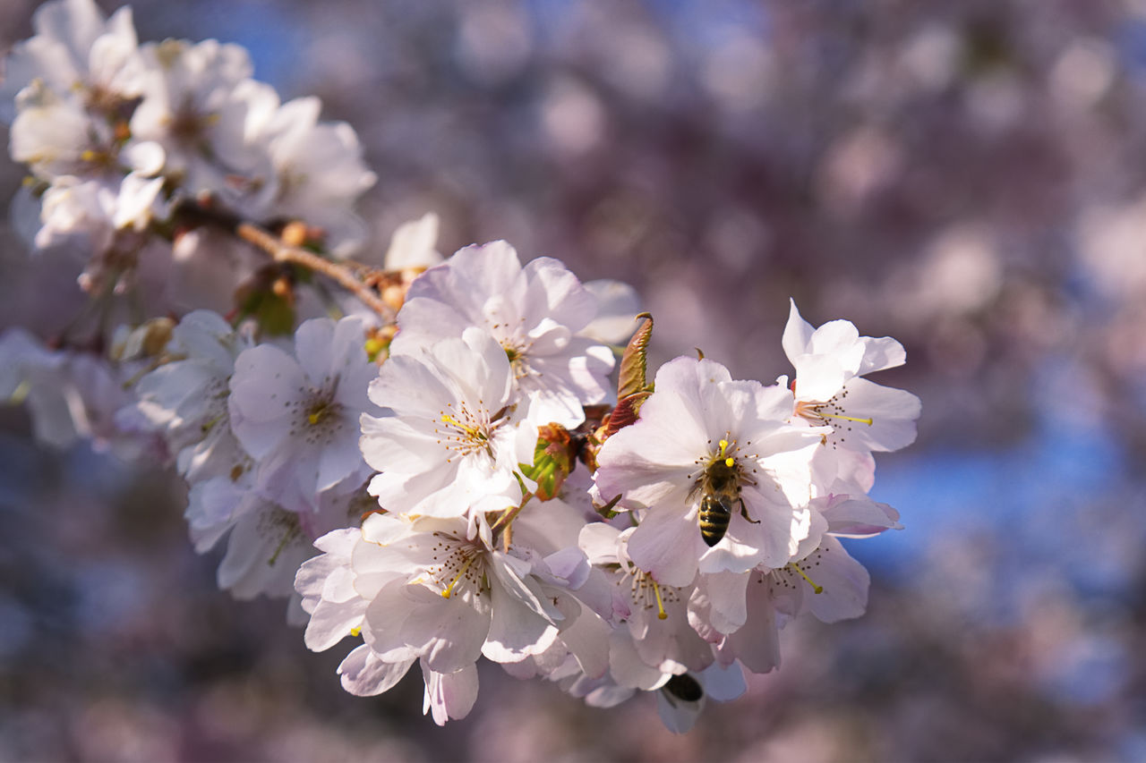 flower, flowering plant, fragility, beauty in nature, plant, growth, vulnerability, freshness, close-up, petal, focus on foreground, cherry blossom, white color, blossom, nature, day, inflorescence, no people, flower head, tree, pollen, springtime, cherry tree, outdoors, spring