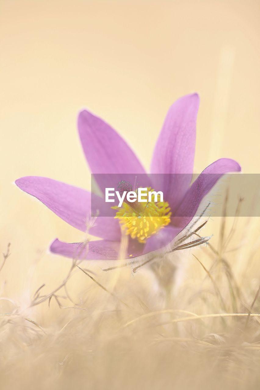 flowering plant, plant, flower, vulnerability, fragility, beauty in nature, freshness, petal, close-up, nature, growth, selective focus, purple, no people, flower head, inflorescence, pollen, land, crocus