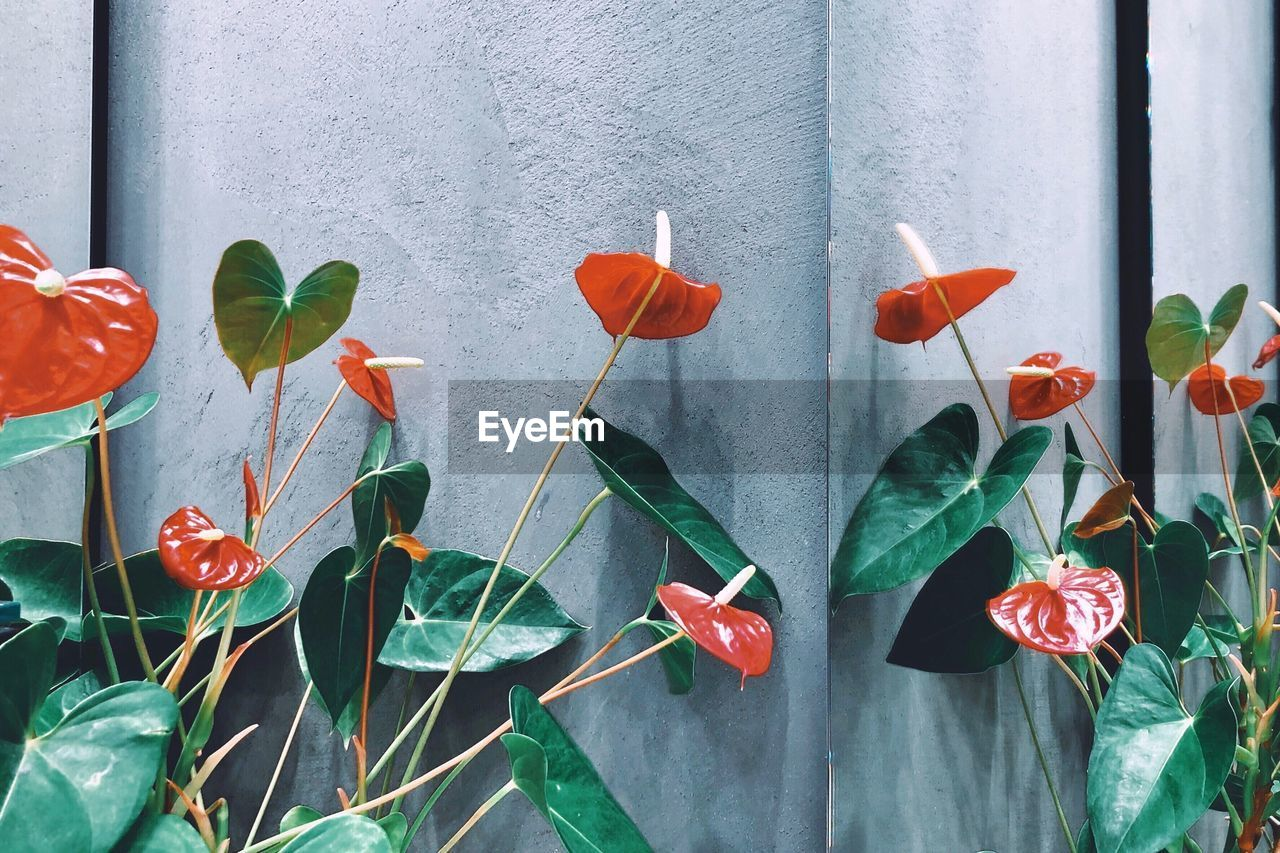 plant, growth, flower, plant part, leaf, flowering plant, beauty in nature, freshness, vulnerability, fragility, red, nature, green color, petal, close-up, inflorescence, wall - building feature, plant stem, no people, flower head, outdoors