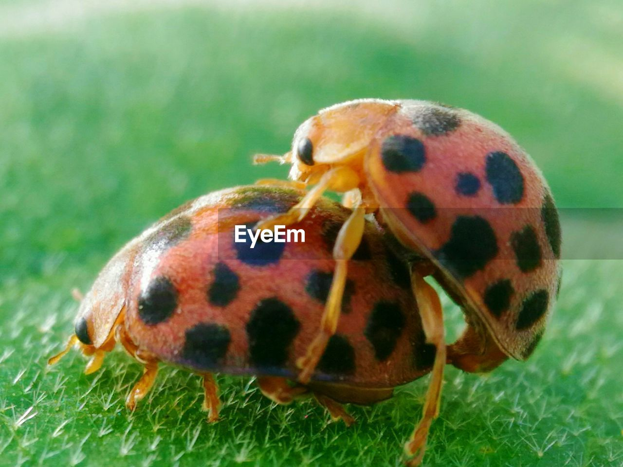 animal themes, animal wildlife, animal, invertebrate, insect, animals in the wild, one animal, close-up, spotted, beetle, no people, nature, focus on foreground, day, plant, animal markings, ladybug, plant part, animal eye
