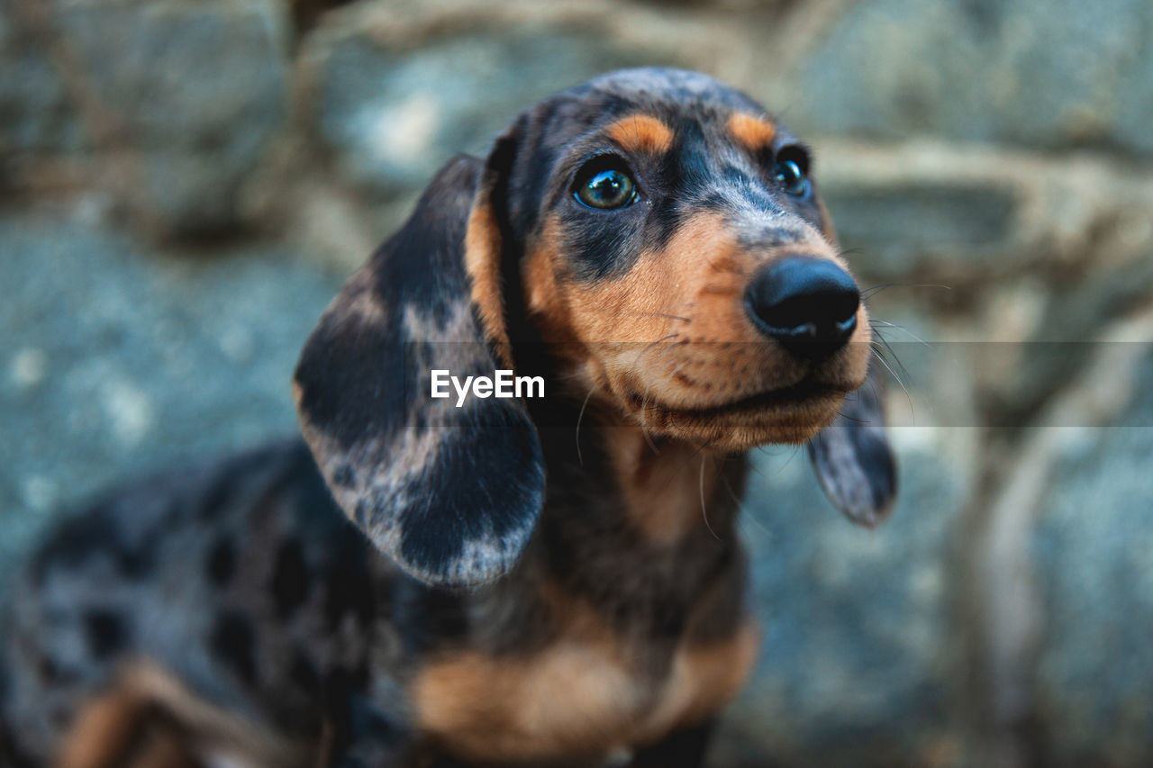 one animal, dog, canine, mammal, animal themes, animal, domestic, domestic animals, pets, vertebrate, looking, looking away, focus on foreground, close-up, no people, animal body part, animal head, day, portrait, brown, animal eye
