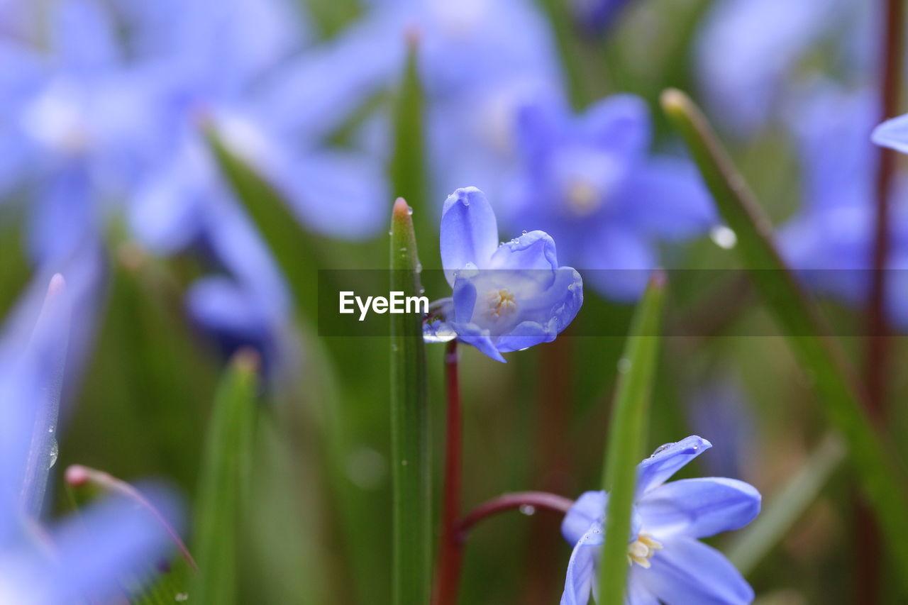CLOSE-UP OF PURPLE CROCUS FLOWERS BLOOMING OUTDOORS