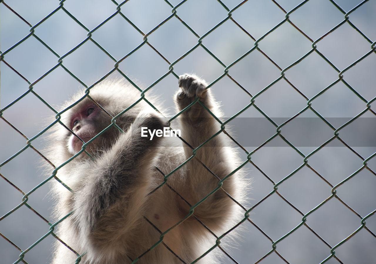 Japanese macaque holding chainlink fence at iwatayama monkey park