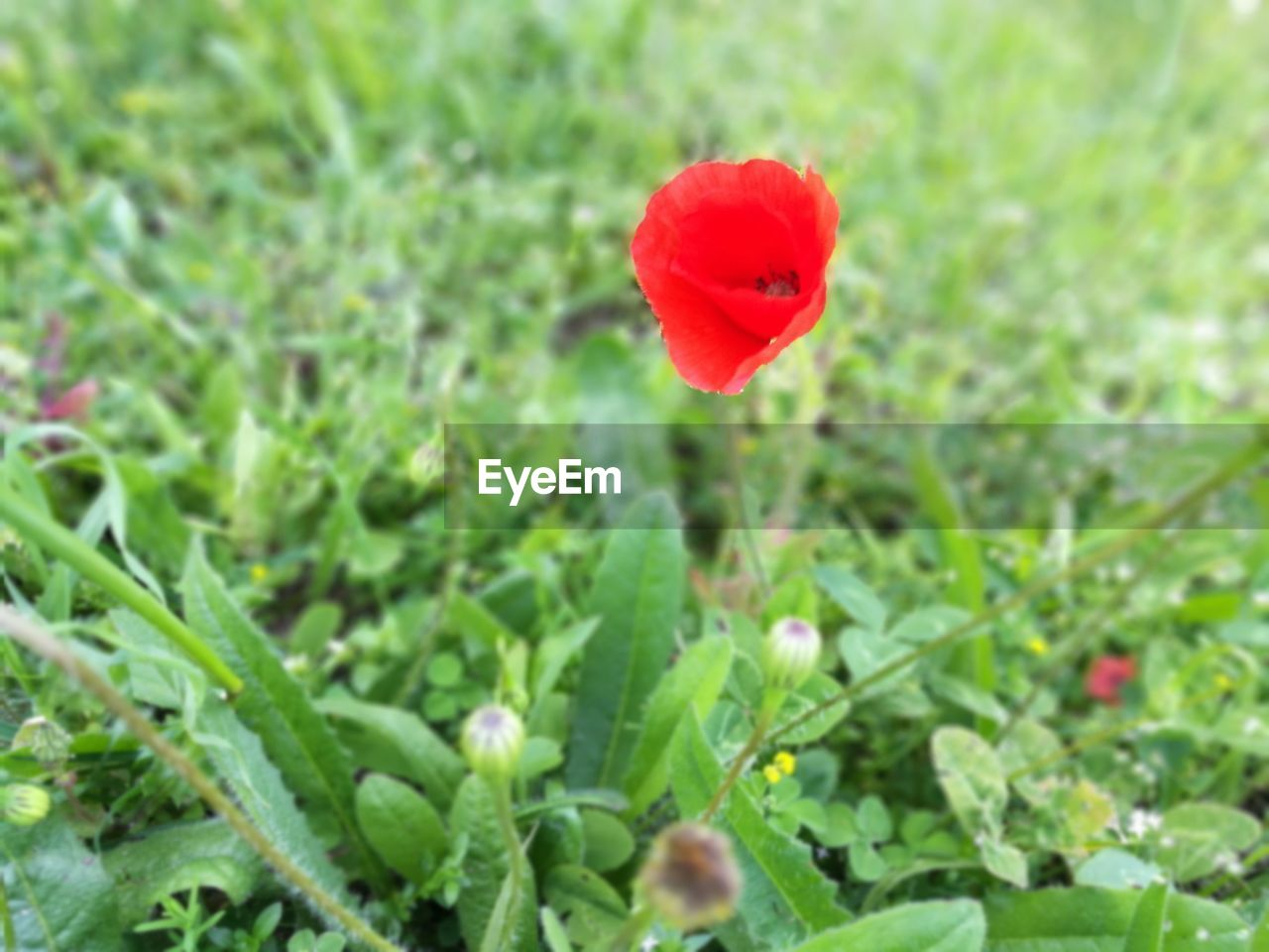 growth, flower, nature, plant, beauty in nature, red, poppy, petal, field, blooming, freshness, fragility, green color, outdoors, no people, flower head, day, close-up, grass