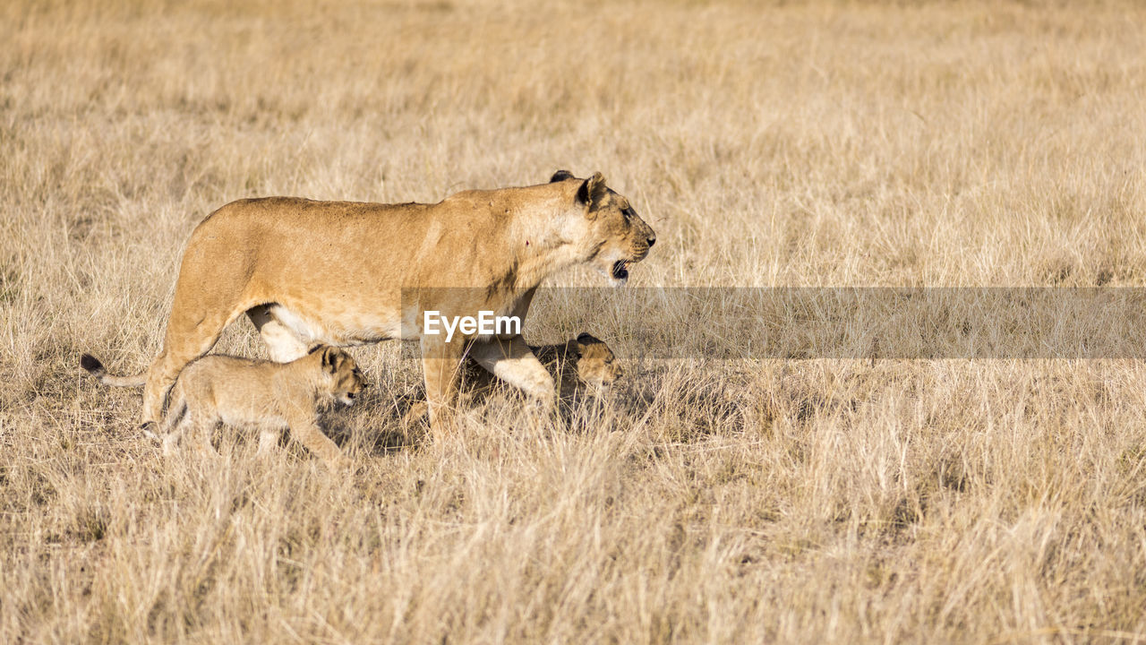 Scenic View Of Lion With Cubs In Field