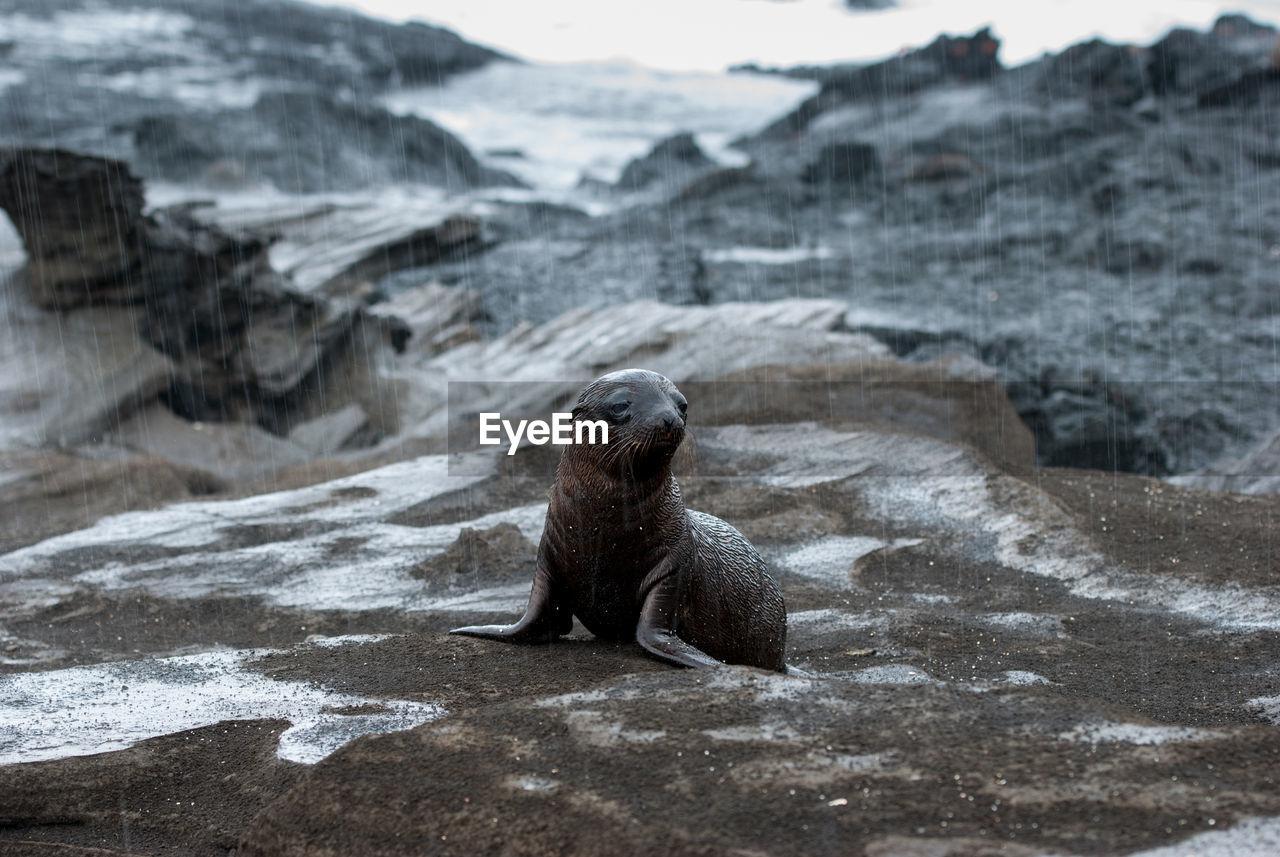 Close-Up Of Galapagos Fur Seal