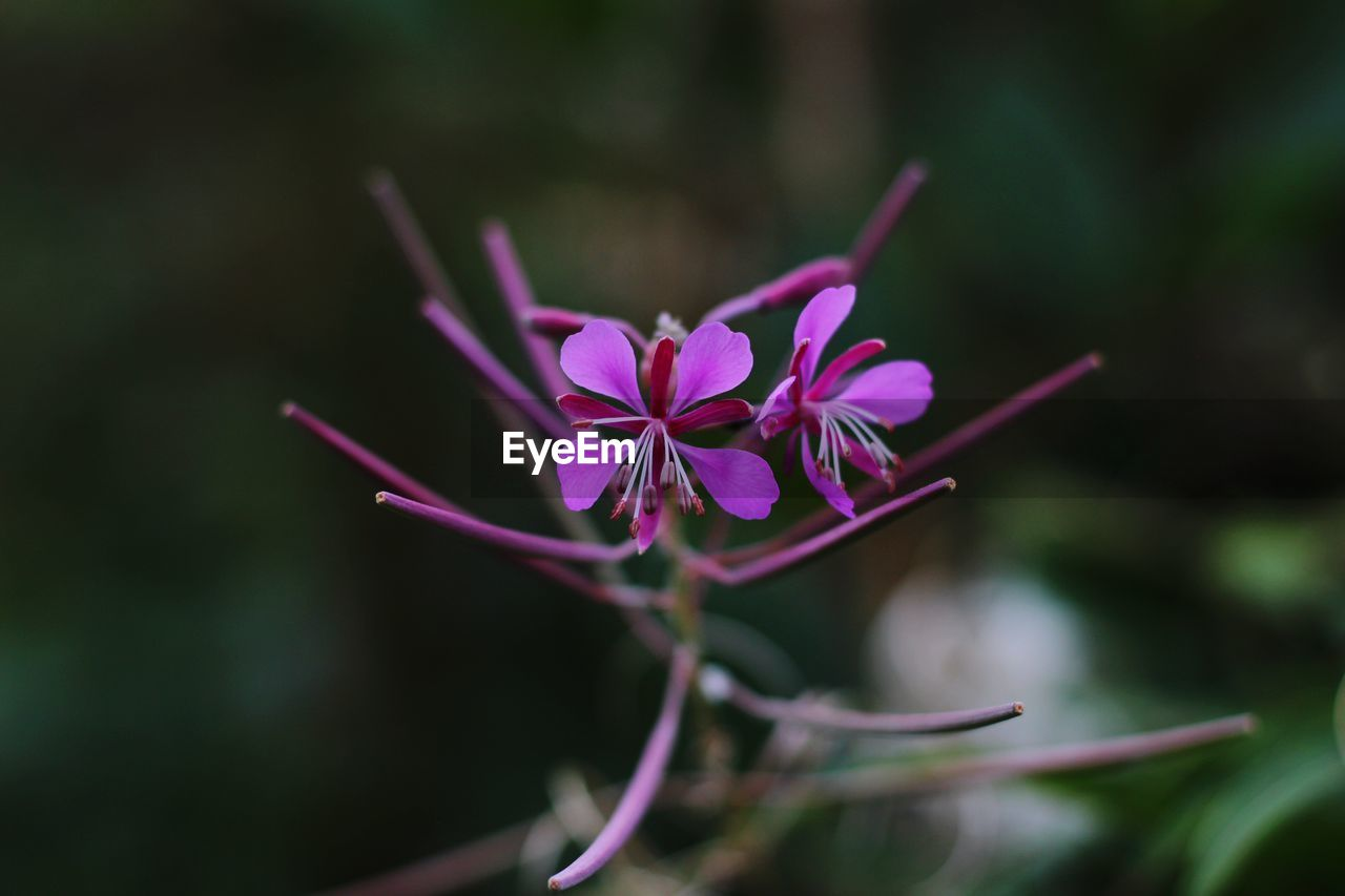 plant, flowering plant, flower, beauty in nature, vulnerability, fragility, freshness, growth, petal, close-up, inflorescence, flower head, pink color, focus on foreground, nature, no people, day, selective focus, outdoors, purple
