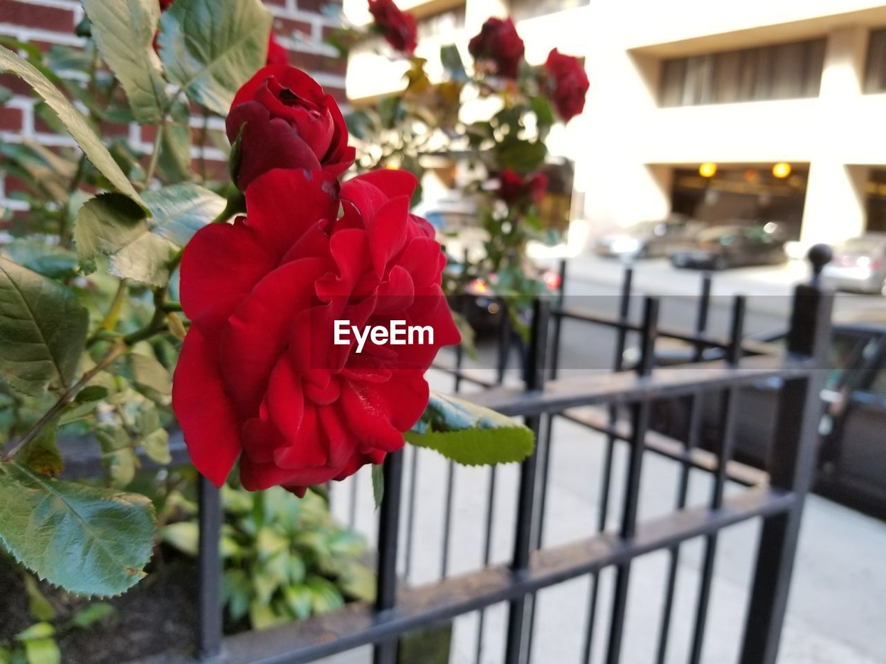 flower, rose - flower, fragility, focus on foreground, petal, red, beauty in nature, freshness, flower head, nature, close-up, outdoors, no people, day, blooming