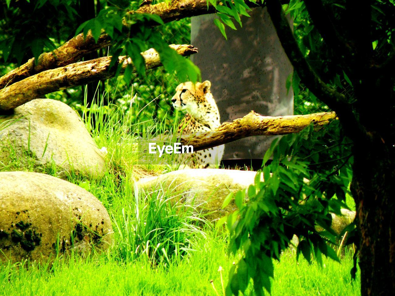 Leopard looking away