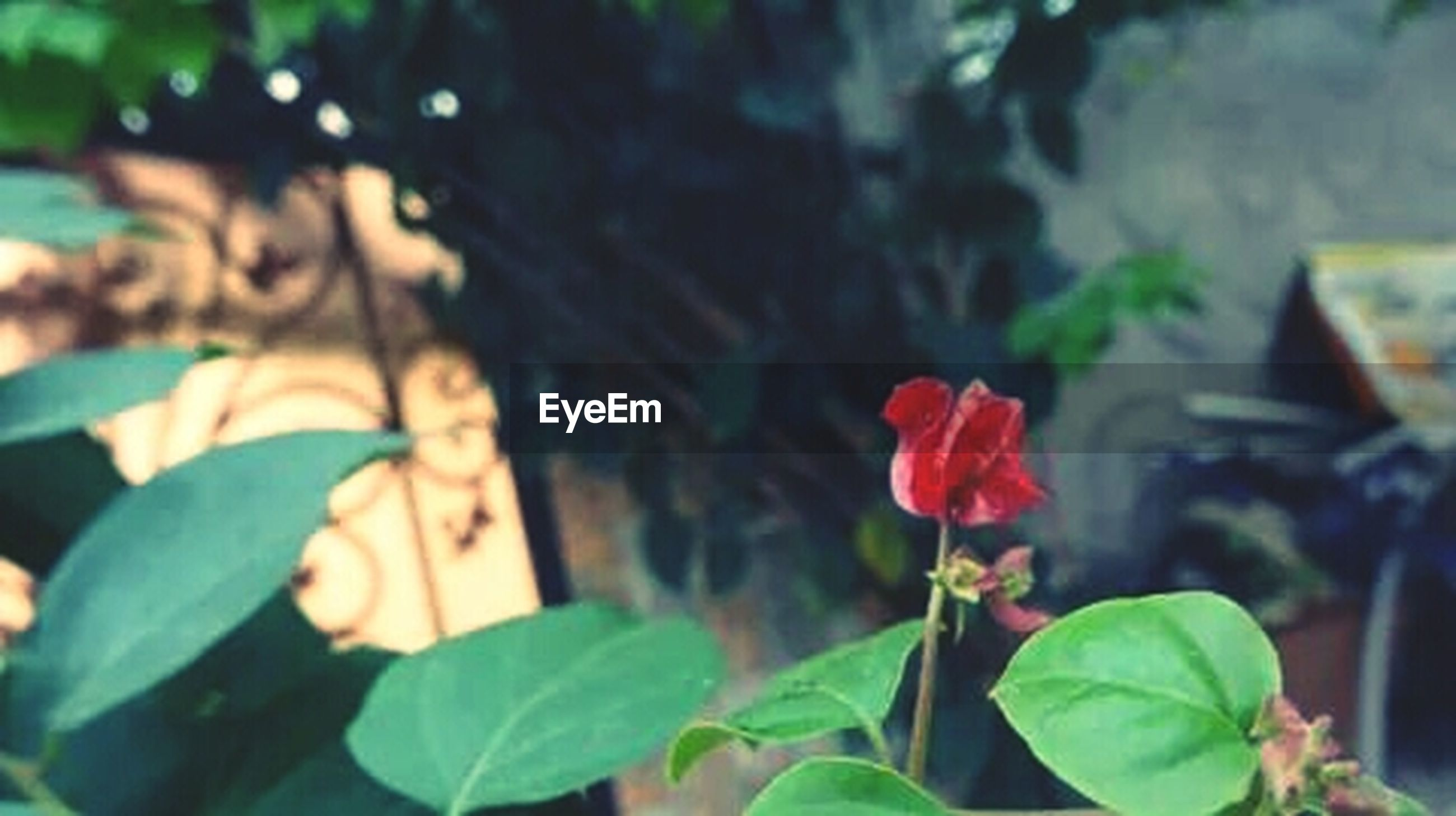 flower, focus on foreground, petal, plant, leaf, growth, freshness, close-up, fragility, flower head, blooming, nature, day, red, outdoors, selective focus, beauty in nature, park - man made space