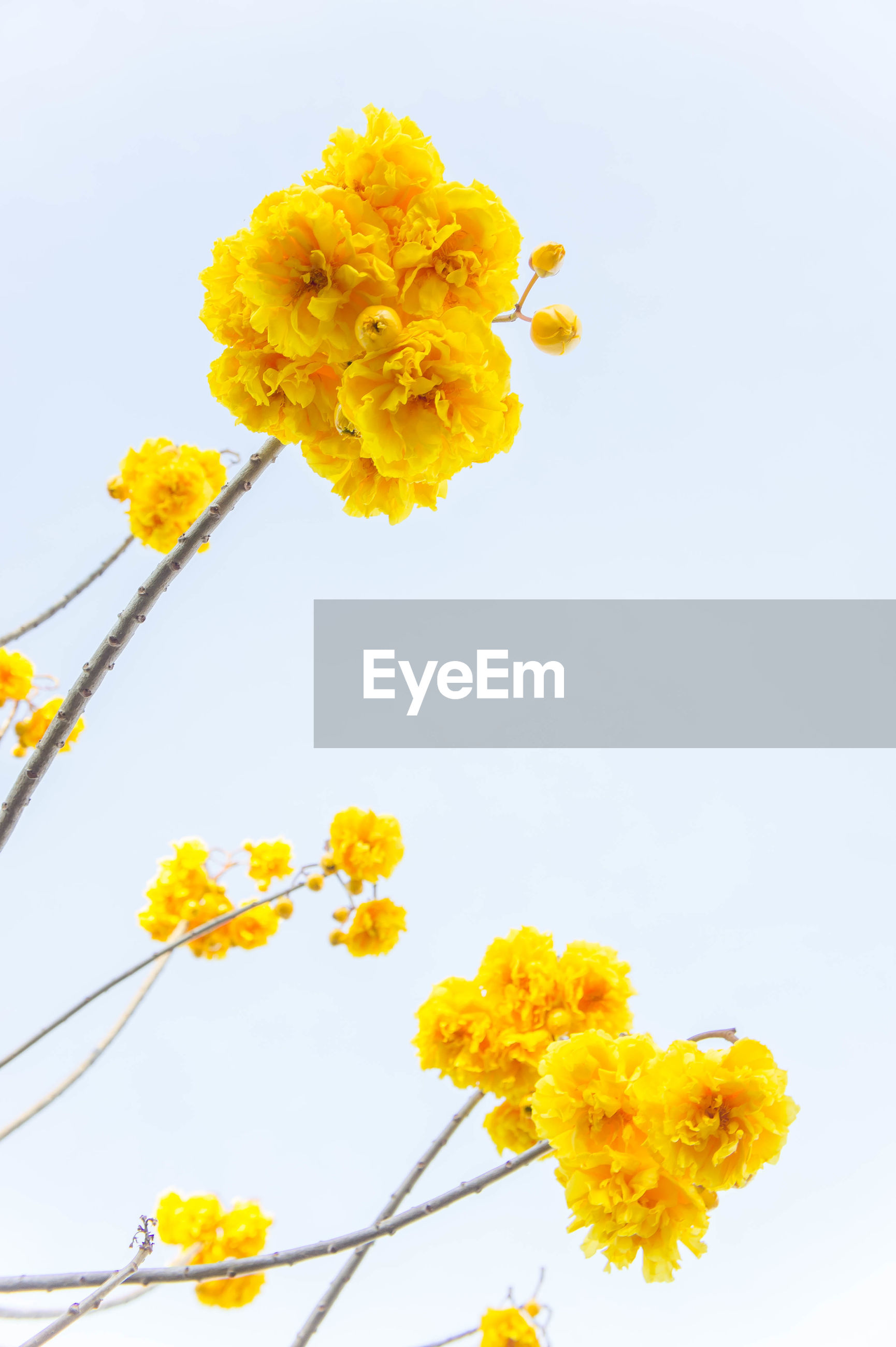 YELLOW FLOWERS BLOOMING AGAINST CLEAR SKY