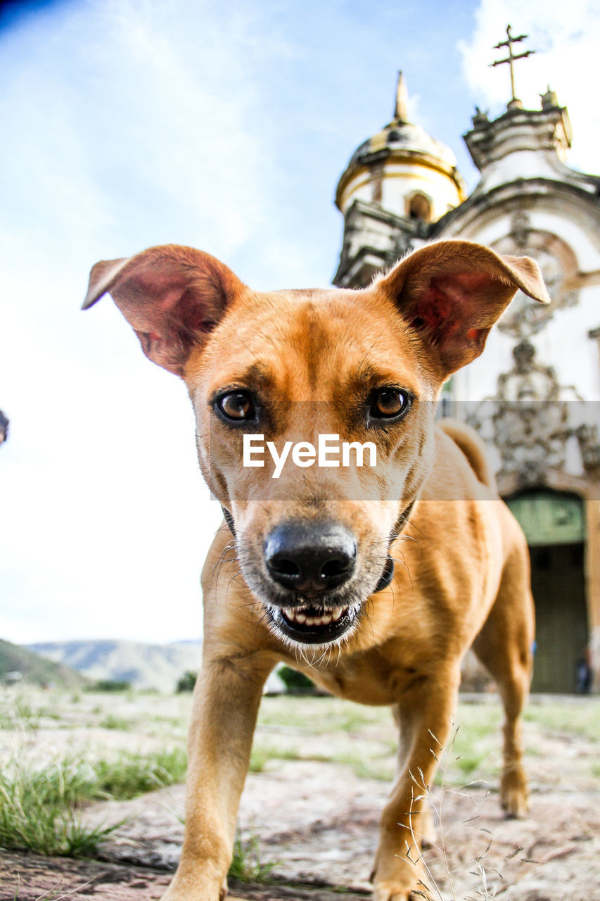 looking at camera, one animal, dog, canine, mammal, portrait, animal, domestic animals, focus on foreground, pets, animal themes, domestic, vertebrate, day, sky, architecture, built structure, building exterior, nature, no people, outdoors, animal head