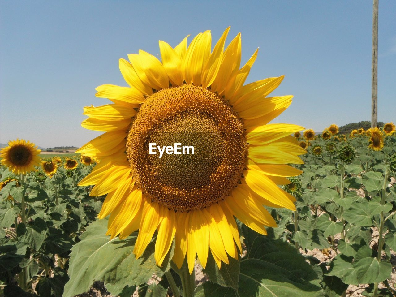 yellow, sunflower, flower, plant, flowering plant, flower head, growth, freshness, beauty in nature, inflorescence, vulnerability, fragility, petal, nature, pollen, close-up, sky, no people, leaf, plant part, outdoors, springtime