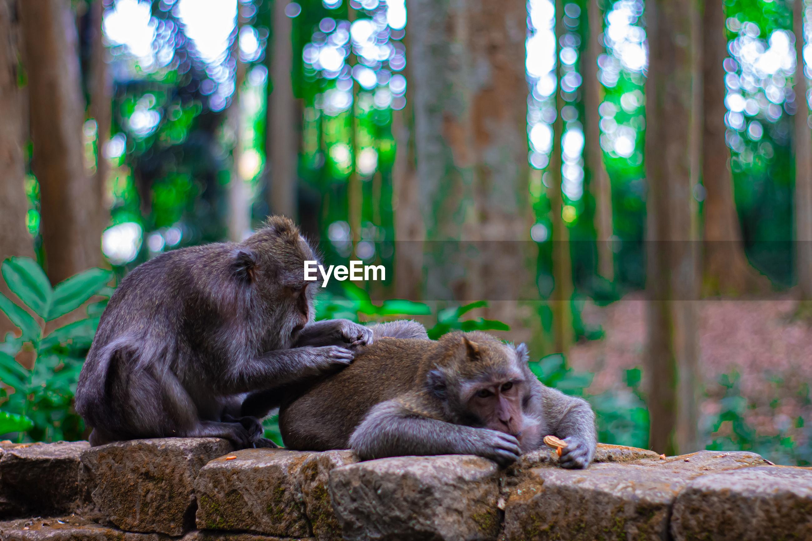 MONKEY SITTING ON ROCK IN FOREST