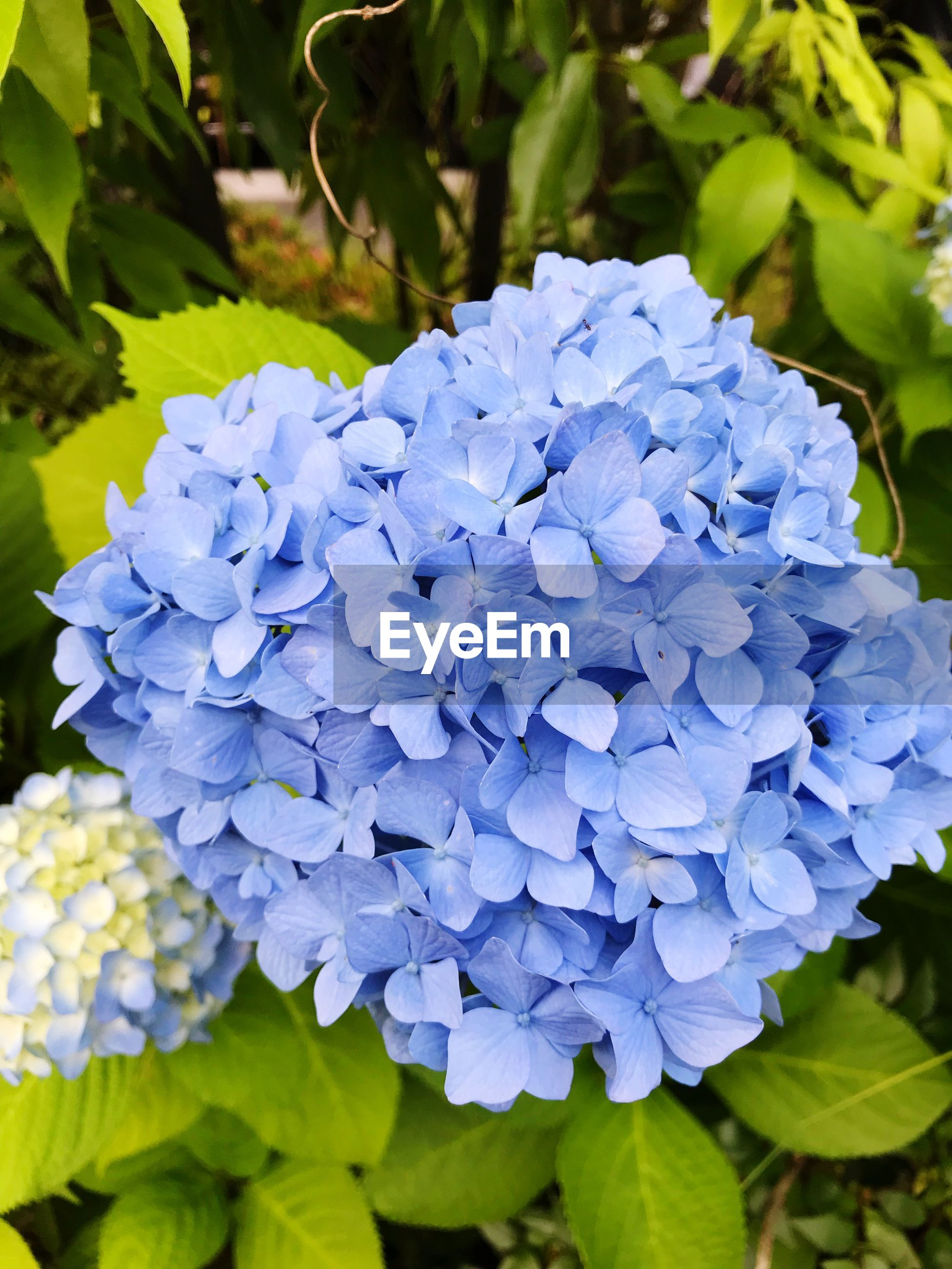 flowering plant, flower, vulnerability, fragility, plant, freshness, beauty in nature, petal, growth, close-up, flower head, purple, inflorescence, blue, hydrangea, nature, day, plant part, leaf, botany, no people, springtime, bunch of flowers, lilac