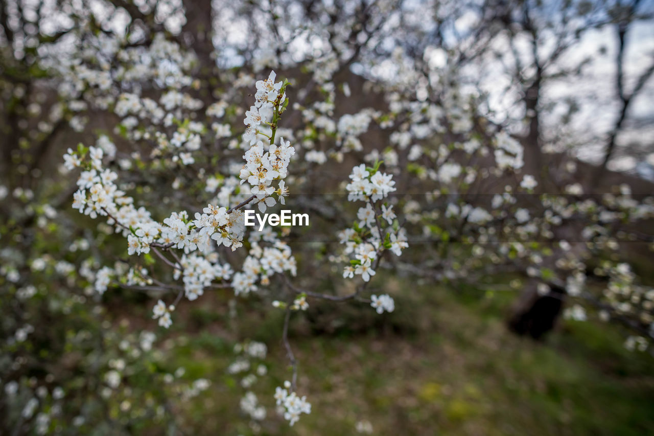 plant, flower, flowering plant, growth, beauty in nature, fragility, tree, vulnerability, blossom, freshness, springtime, day, nature, no people, branch, selective focus, focus on foreground, white color, close-up, outdoors, cherry blossom, flower head, cherry tree, spring