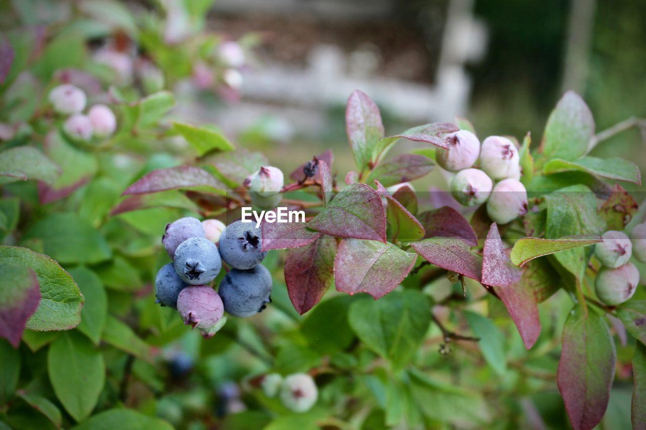 Berries growing on plant