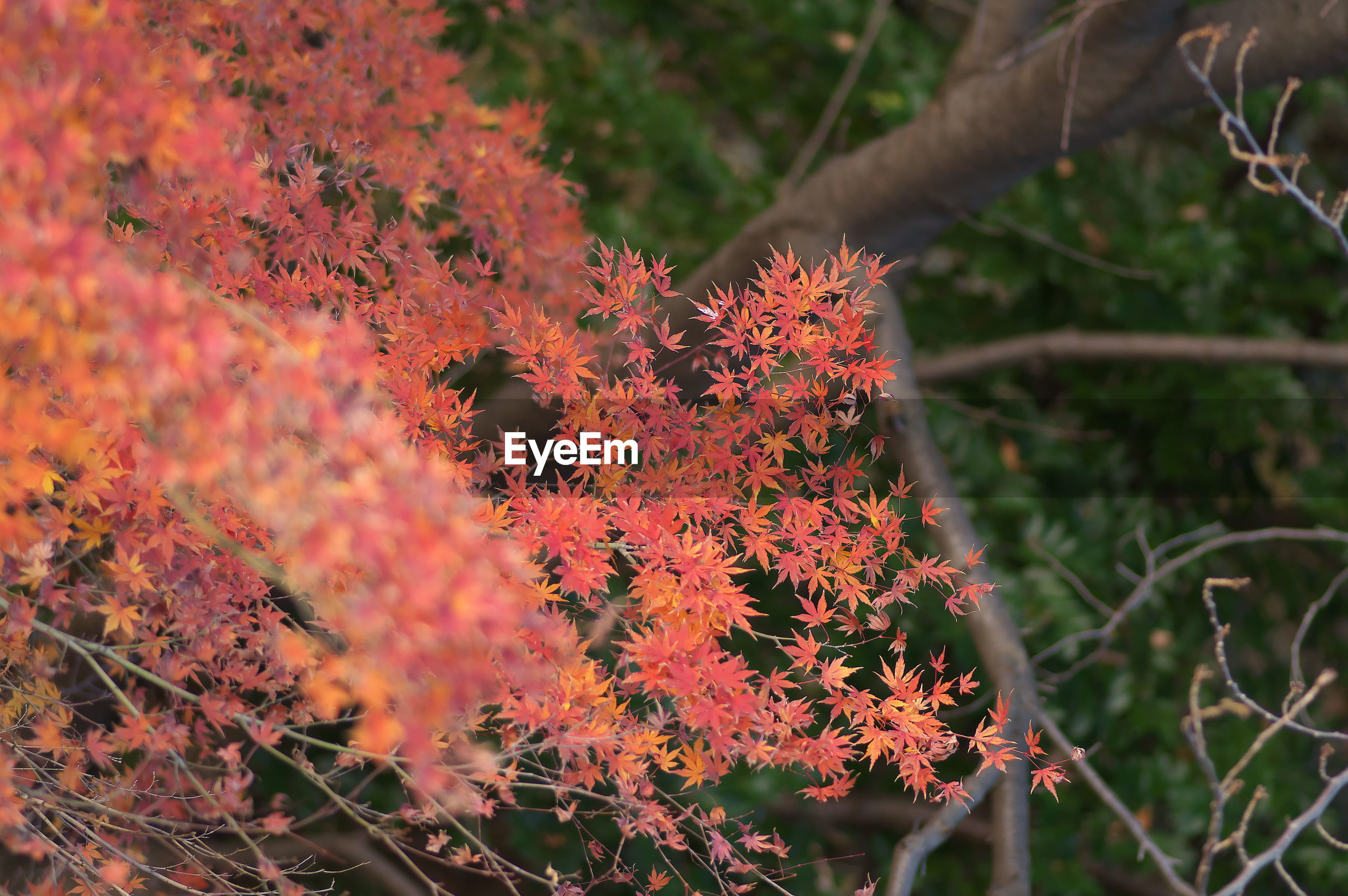 CLOSE-UP OF RED MAPLE LEAF ON TREE DURING AUTUMN
