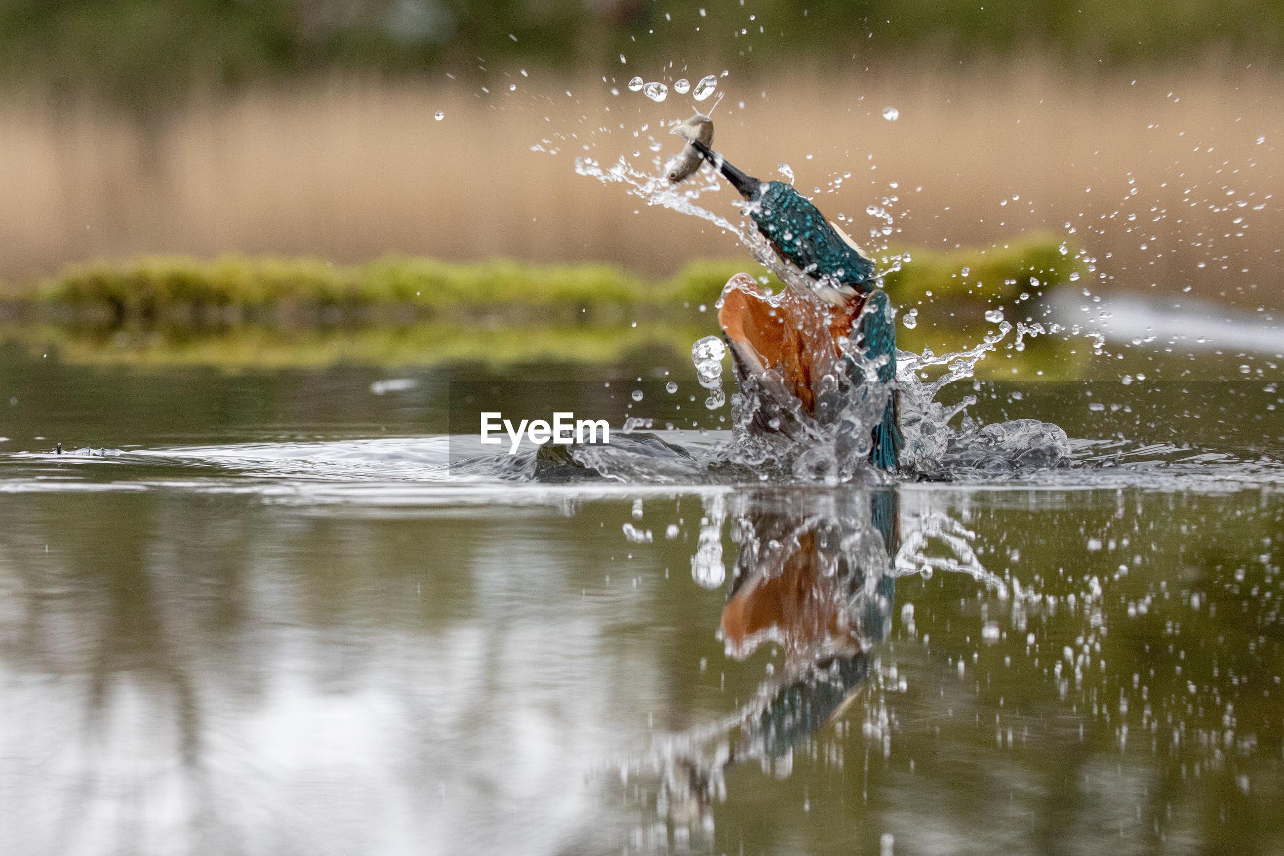 Kingfisher hunting fish in lake