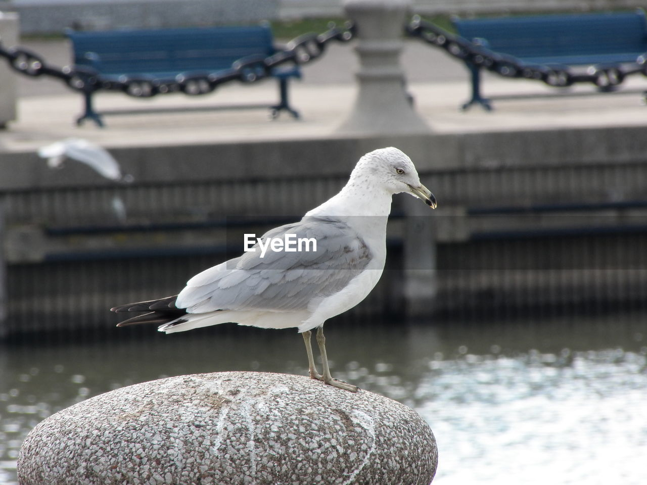 bird, animals in the wild, animal themes, animal, vertebrate, animal wildlife, focus on foreground, water, one animal, no people, perching, seagull, day, nature, close-up, lake, outdoors, sea bird, solid