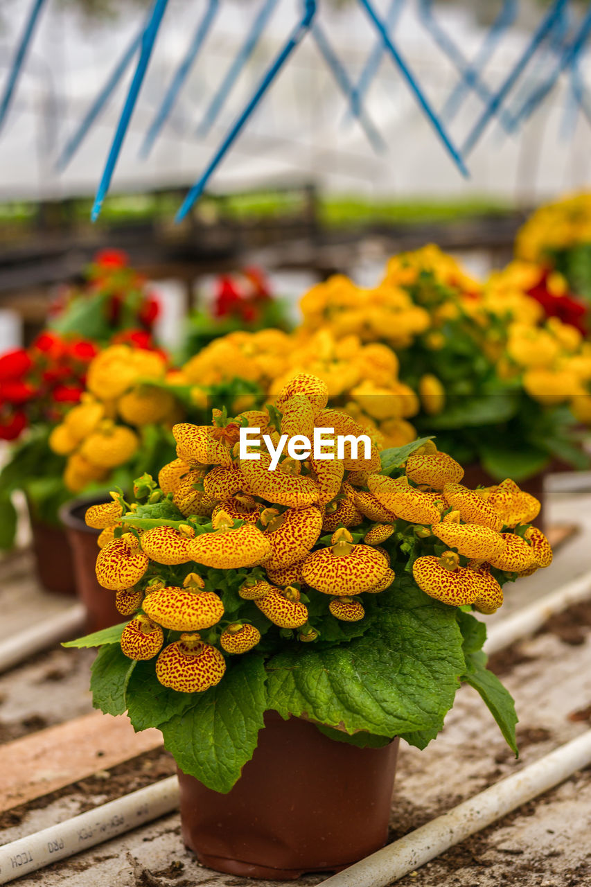 flower, flowering plant, plant, freshness, vulnerability, fragility, flower head, beauty in nature, inflorescence, growth, nature, yellow, close-up, focus on foreground, day, no people, petal, marigold, springtime, outdoors, flower arrangement, flower pot