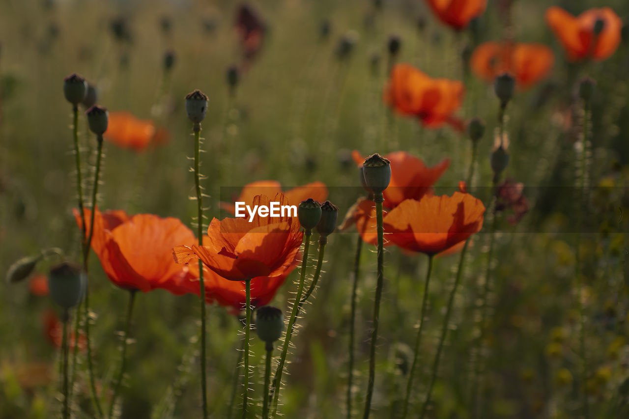 flower, flowering plant, fragility, vulnerability, beauty in nature, plant, growth, close-up, freshness, flower head, petal, inflorescence, focus on foreground, orange color, no people, day, nature, field, poppy, land, outdoors