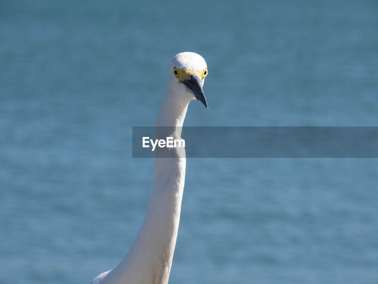 Portrait Of Snowy Egret Against Sea