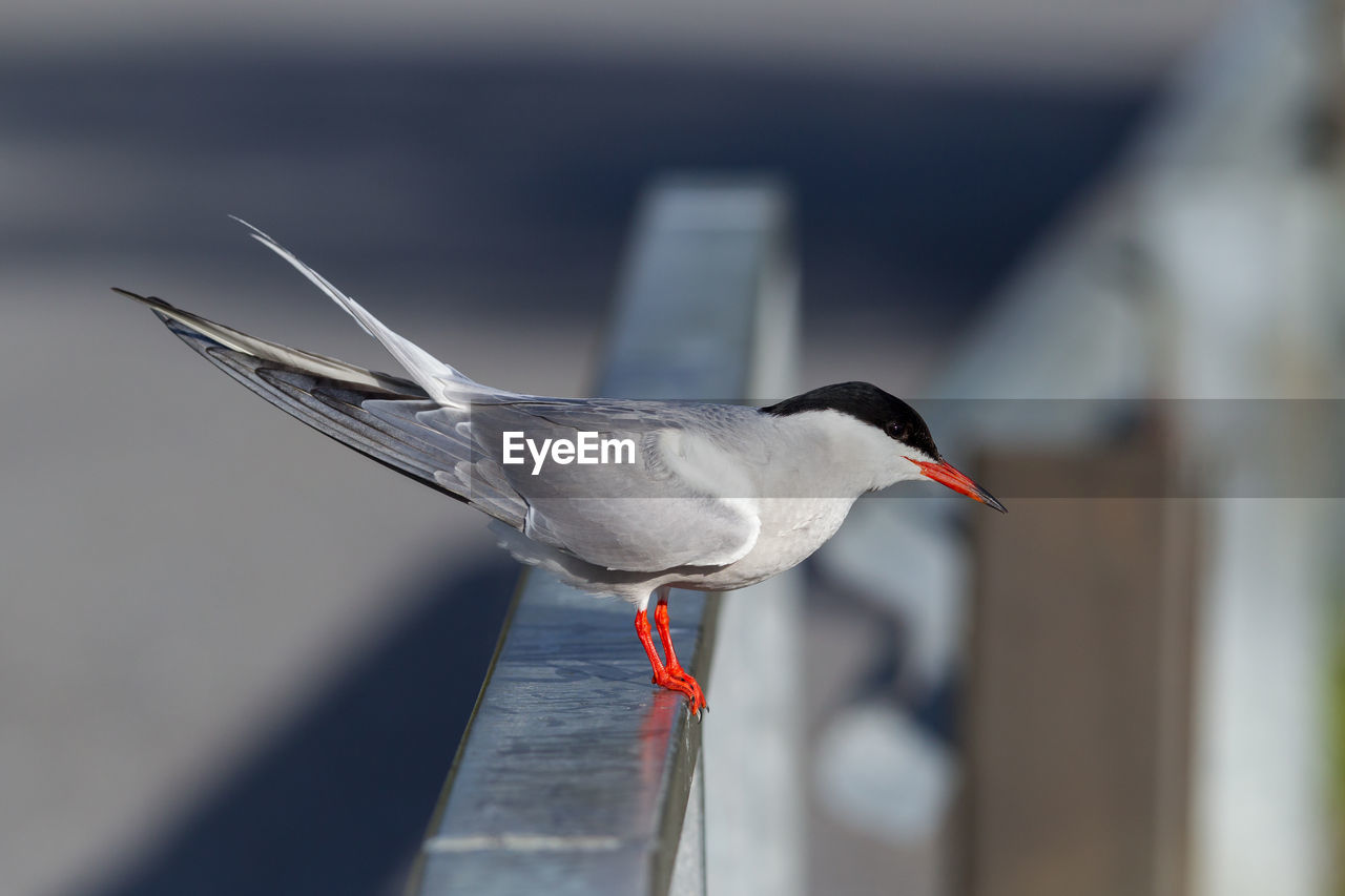 bird, animal themes, vertebrate, animals in the wild, animal, animal wildlife, one animal, focus on foreground, day, no people, side view, perching, nature, close-up, selective focus, outdoors, red, sunlight, black-headed gull, beak