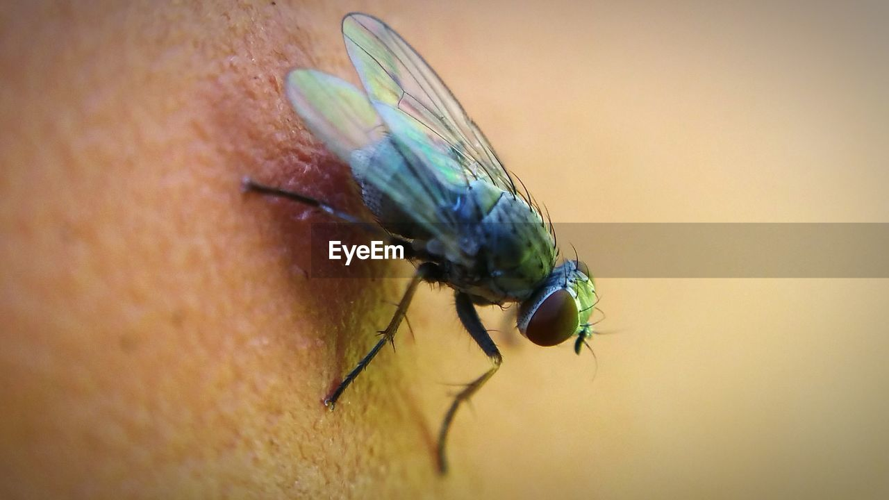 Close-up of housefly on human skin