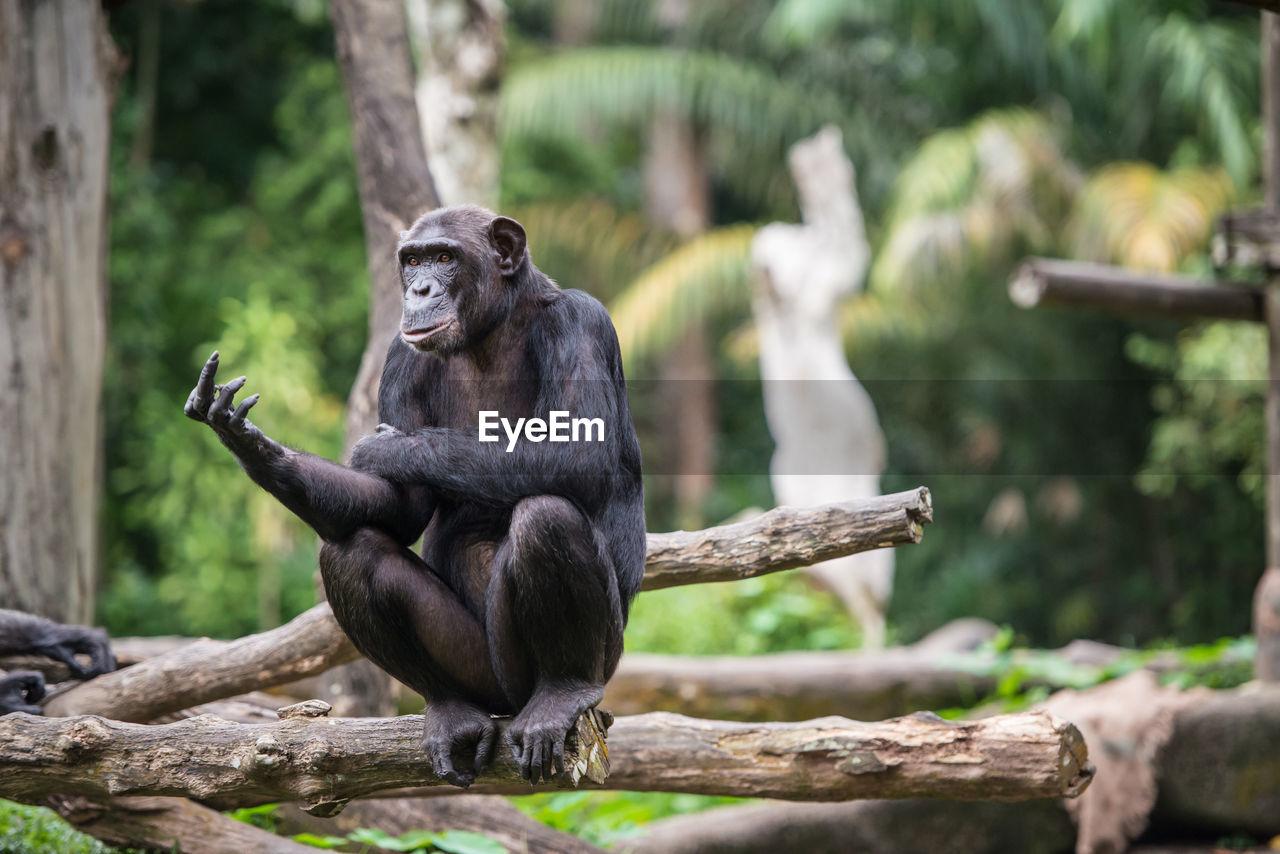 Chimpanzee making obscene gesture against trees