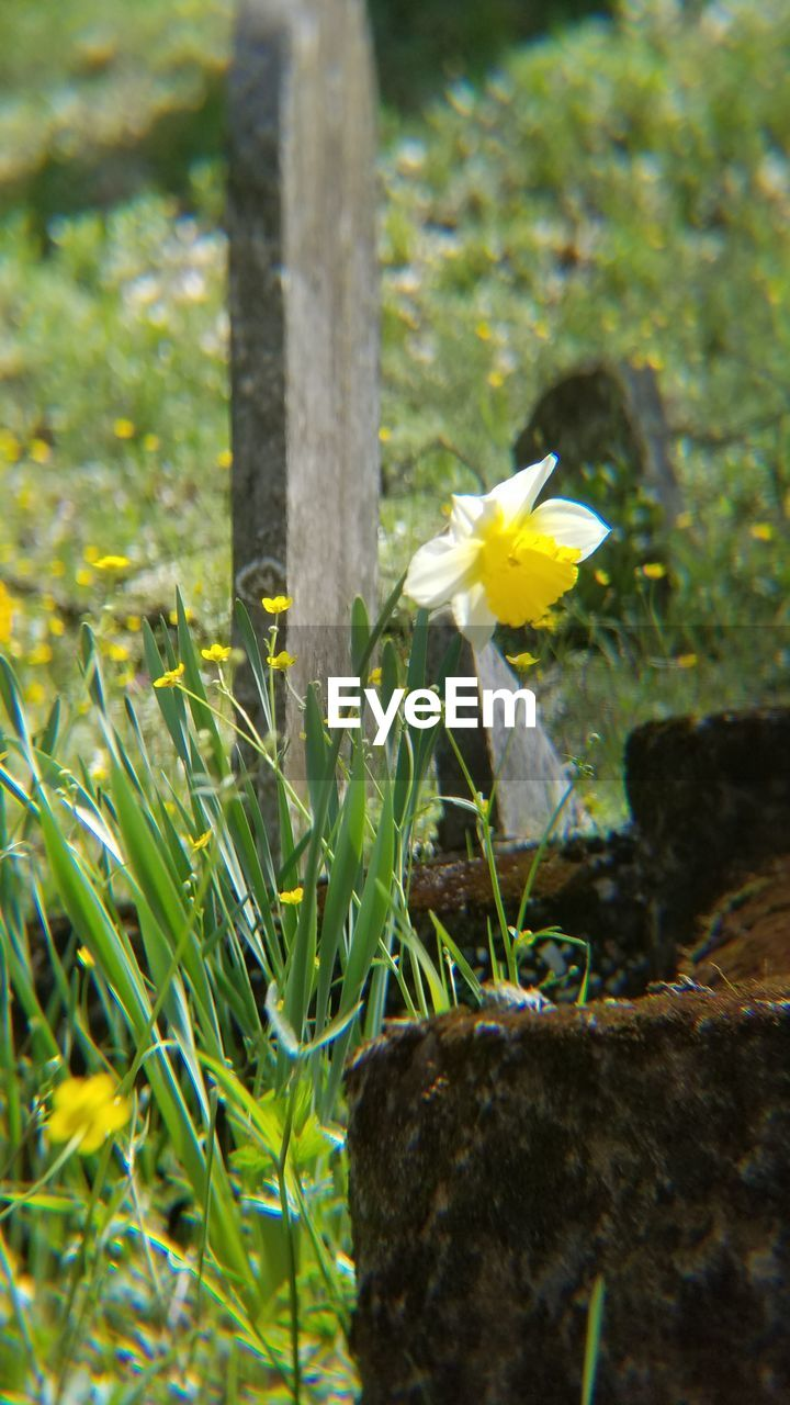 flower, growth, nature, fragility, no people, yellow, outdoors, day, daffodil, beauty in nature, freshness, plant, petal, flower head, close-up, grass, blooming