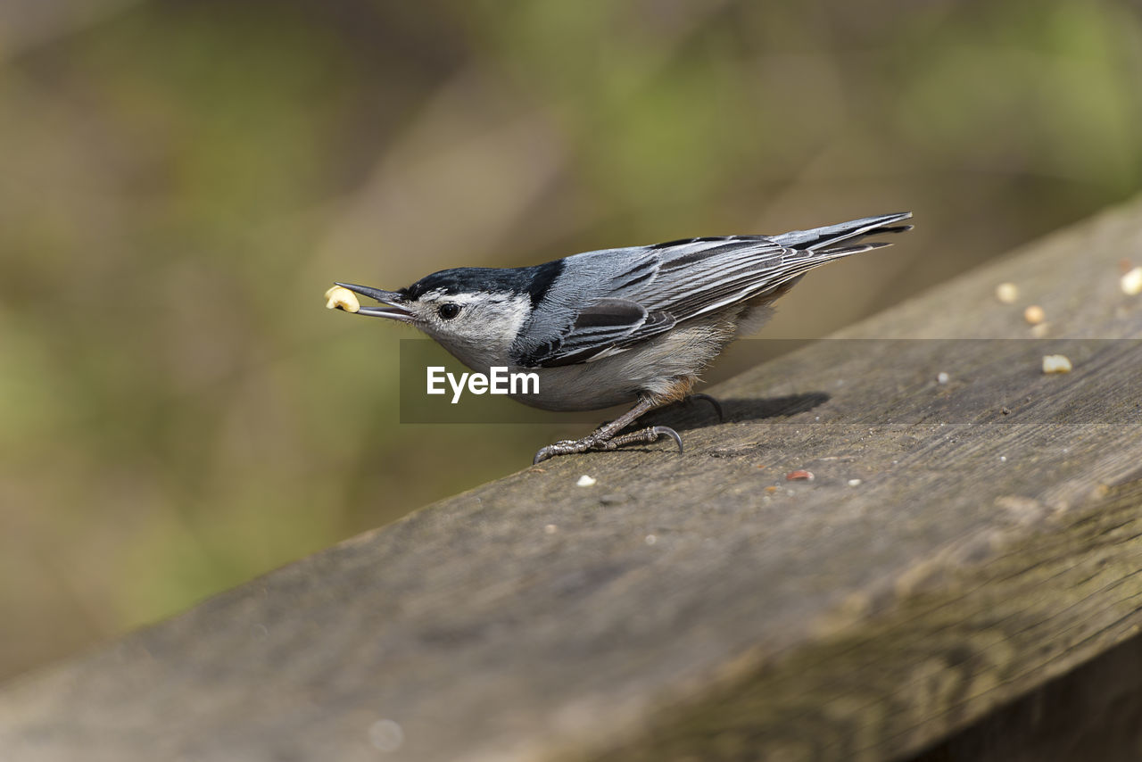 animal themes, animals in the wild, animal wildlife, animal, bird, one animal, vertebrate, selective focus, perching, day, no people, close-up, wood - material, outdoors, nature, side view, songbird, eating, full length, focus on foreground