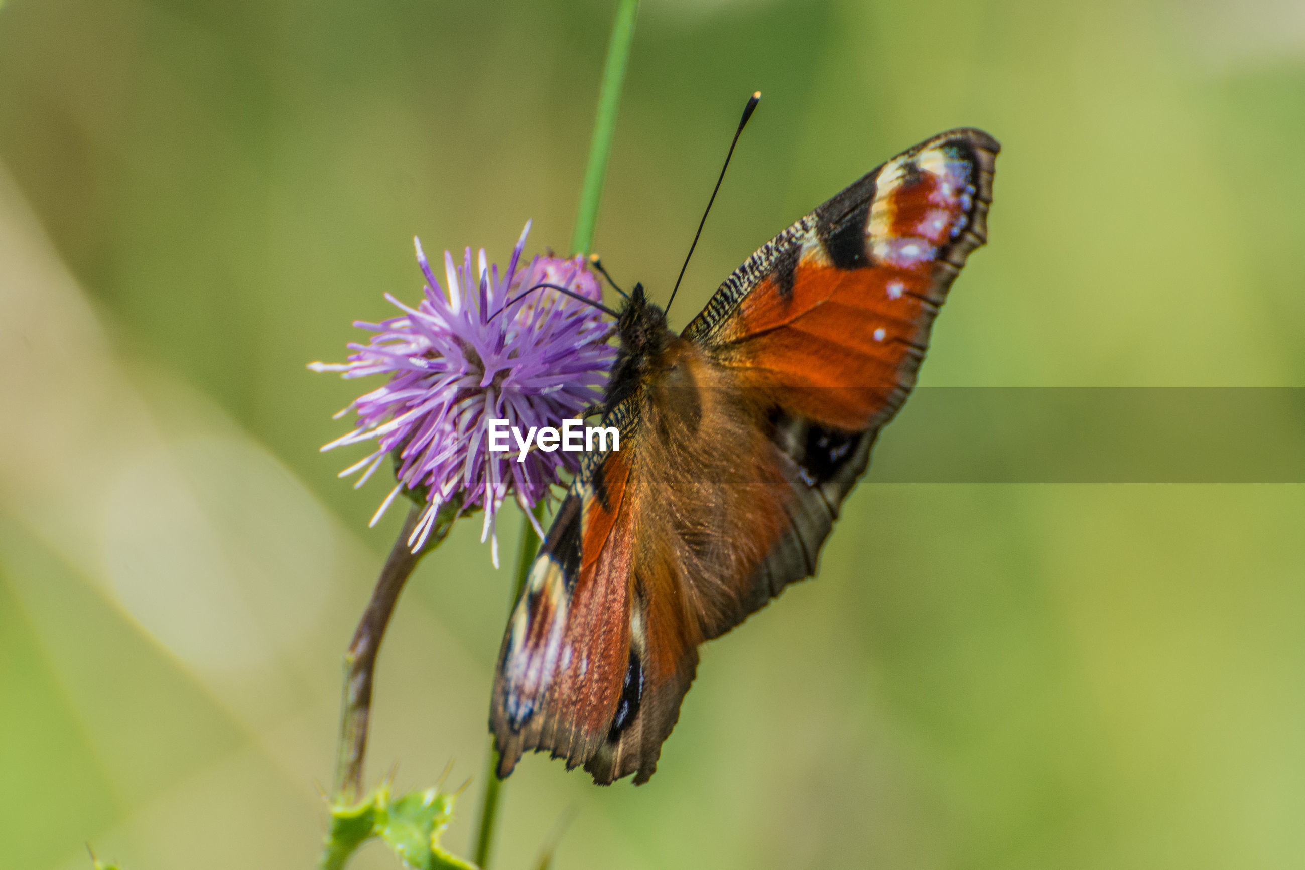 BUTTERFLY POLLINATING ON PURPLE FLOWER