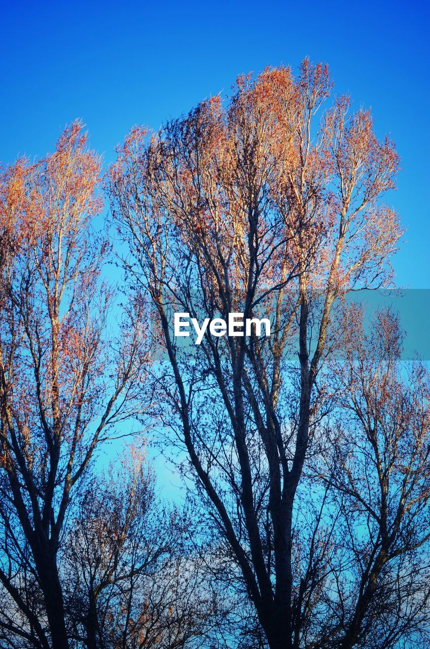 tree, branch, nature, low angle view, autumn, clear sky, beauty in nature, outdoors, no people, bare tree, blue, day, tranquility, growth, sky, forest, scenics