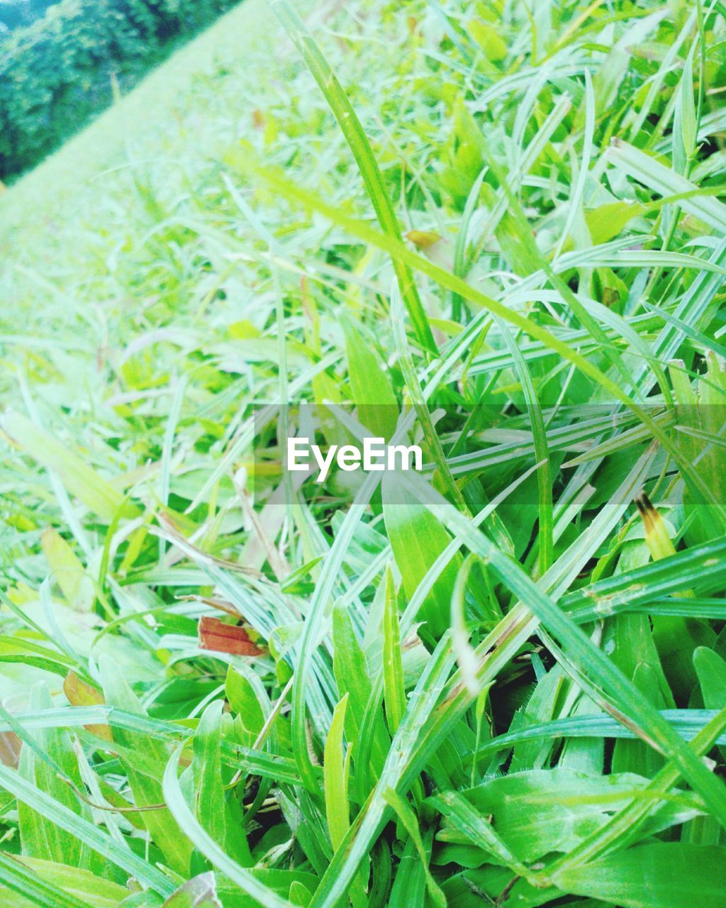green color, grass, growth, nature, no people, plant, day, close-up, field, outdoors, beauty in nature, freshness, food