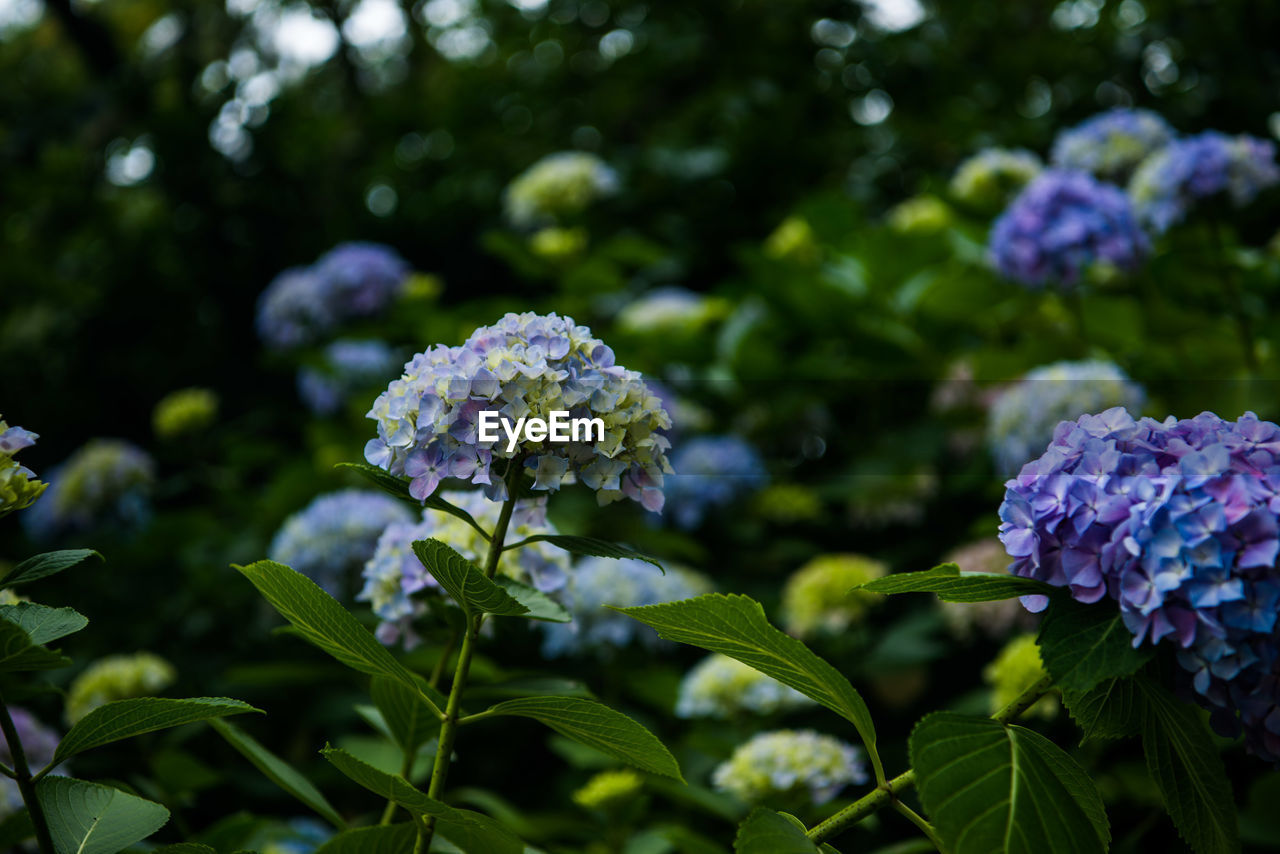 flower, growth, green color, purple, beauty in nature, nature, leaf, lilac, day, freshness, hydrangea, plant, fragility, no people, outdoors, blooming, close-up, flower head