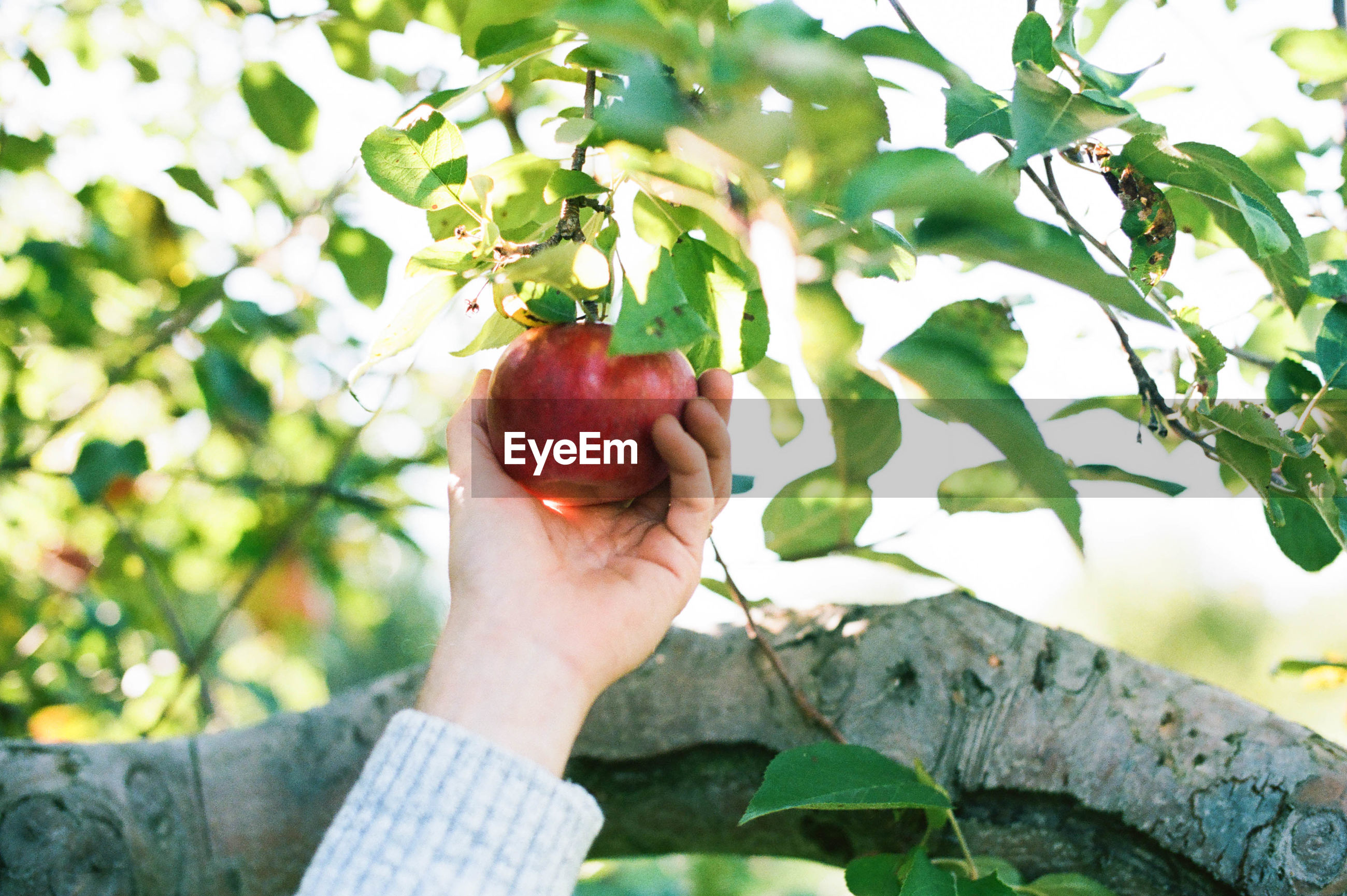 PERSON HOLDING FRUITS ON TREE