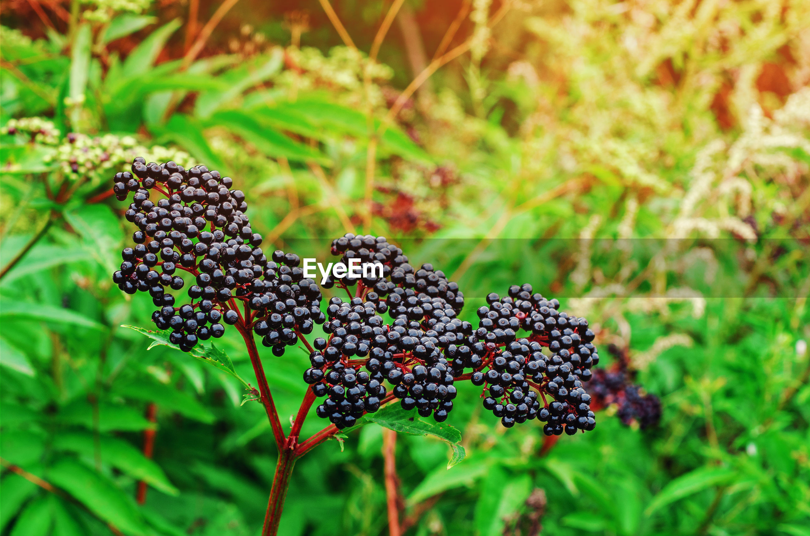 Ripe berries of black elderberry bunch on bushes in the forest among green leaves
