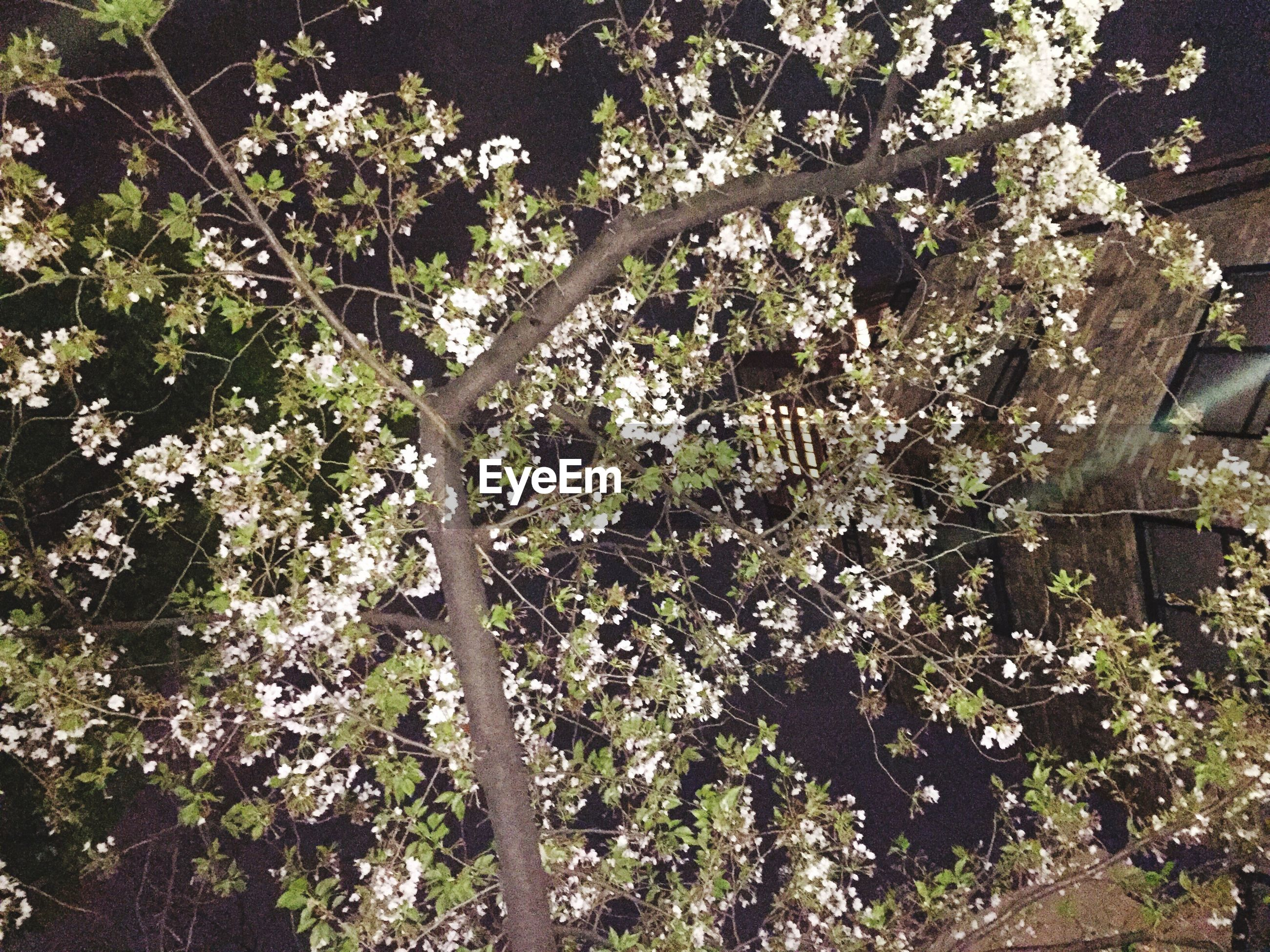 tree, growth, branch, low angle view, flower, nature, beauty in nature, freshness, blossom, tree trunk, plant, white color, tranquility, leaf, outdoors, day, fragility, no people, sunlight, growing