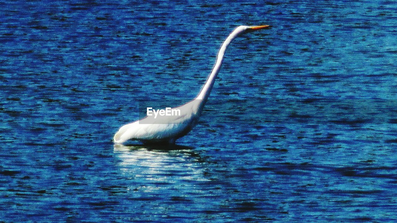 one animal, animals in the wild, animal themes, bird, lake, water, nature, day, animal wildlife, no people, waterfront, outdoors, great egret, beauty in nature, beak, swan, close-up