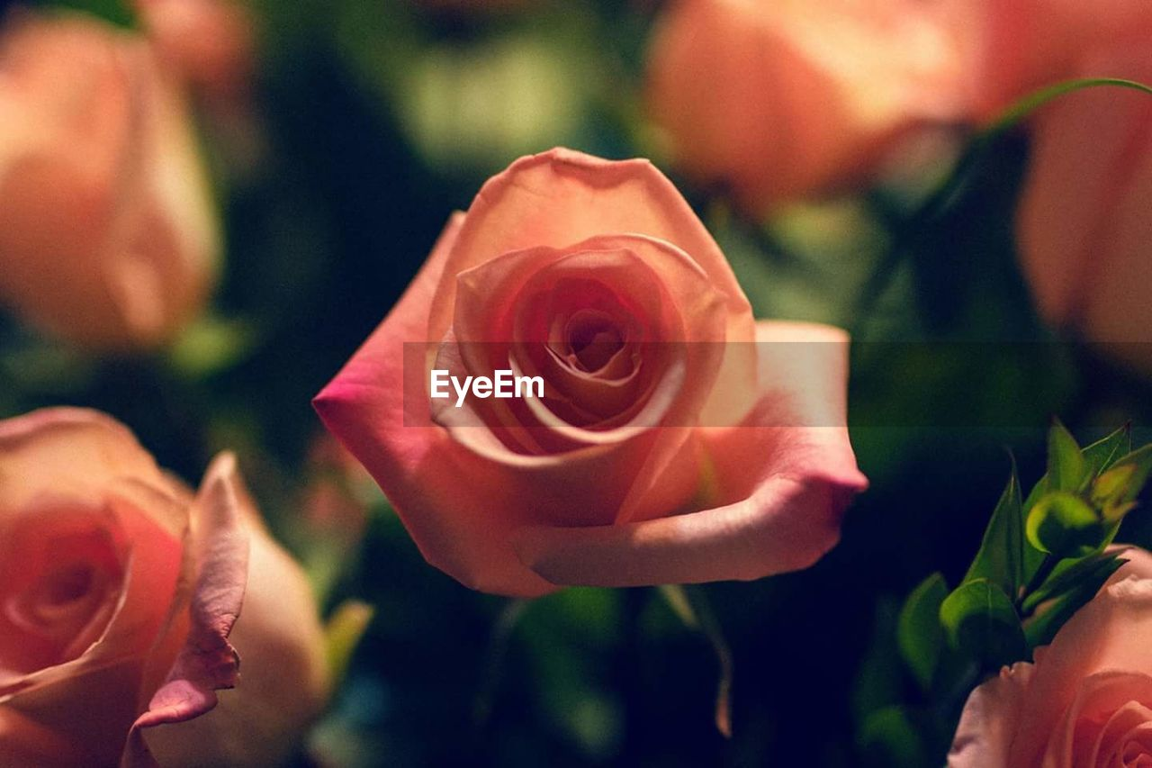 flower, petal, rose - flower, flower head, nature, fragility, growth, beauty in nature, freshness, plant, close-up, blooming, no people, outdoors, day