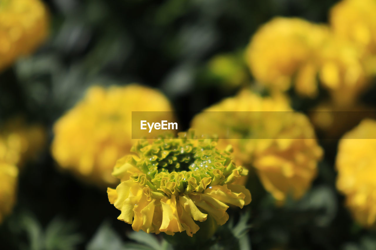 flower, flowering plant, beauty in nature, yellow, fragility, freshness, vulnerability, plant, growth, close-up, petal, inflorescence, flower head, selective focus, nature, day, focus on foreground, no people, outdoors, marigold