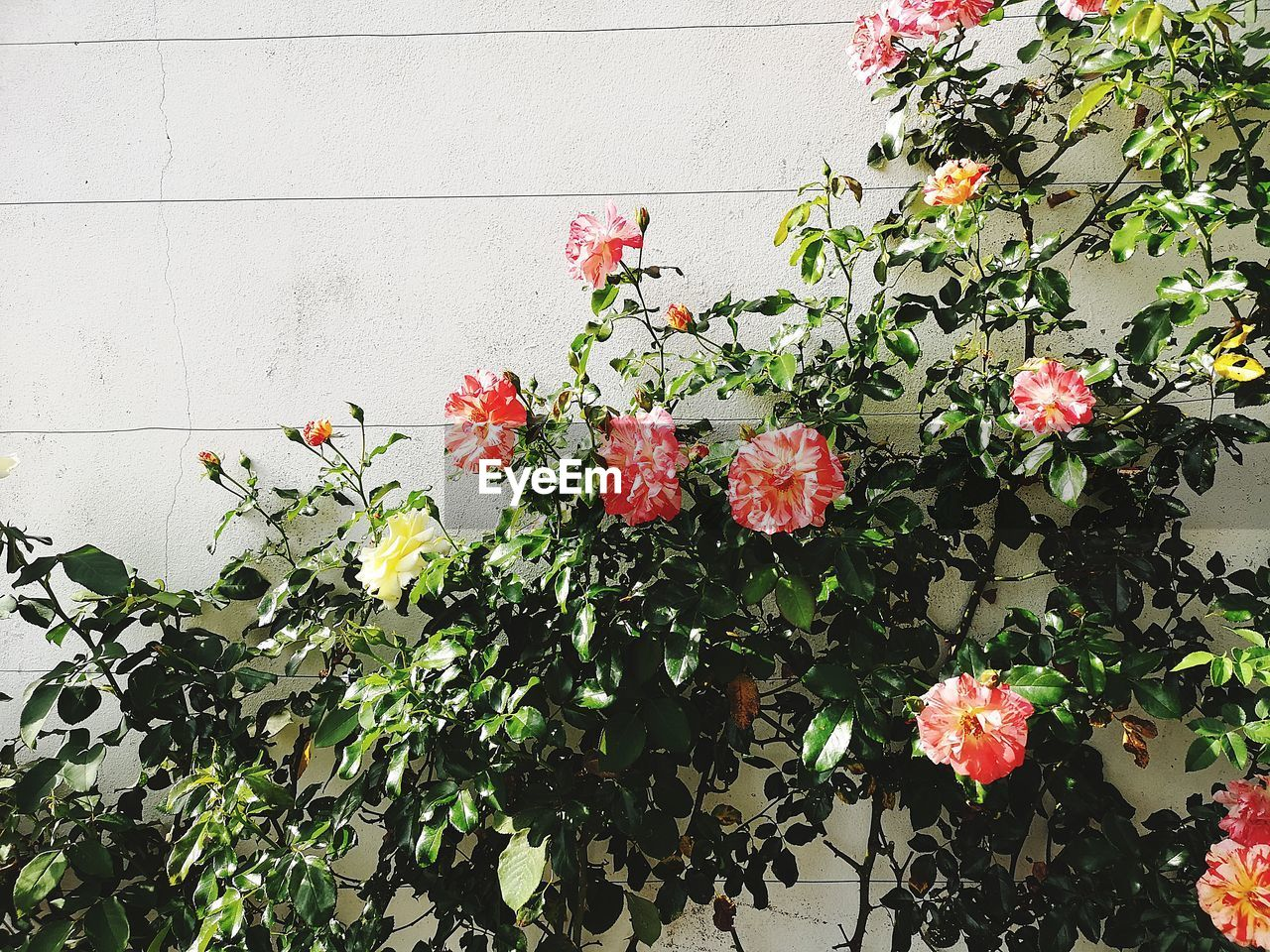 plant, flowering plant, flower, growth, freshness, beauty in nature, fragility, vulnerability, plant part, leaf, nature, petal, day, outdoors, no people, close-up, flower head, inflorescence, red, wall - building feature, spring