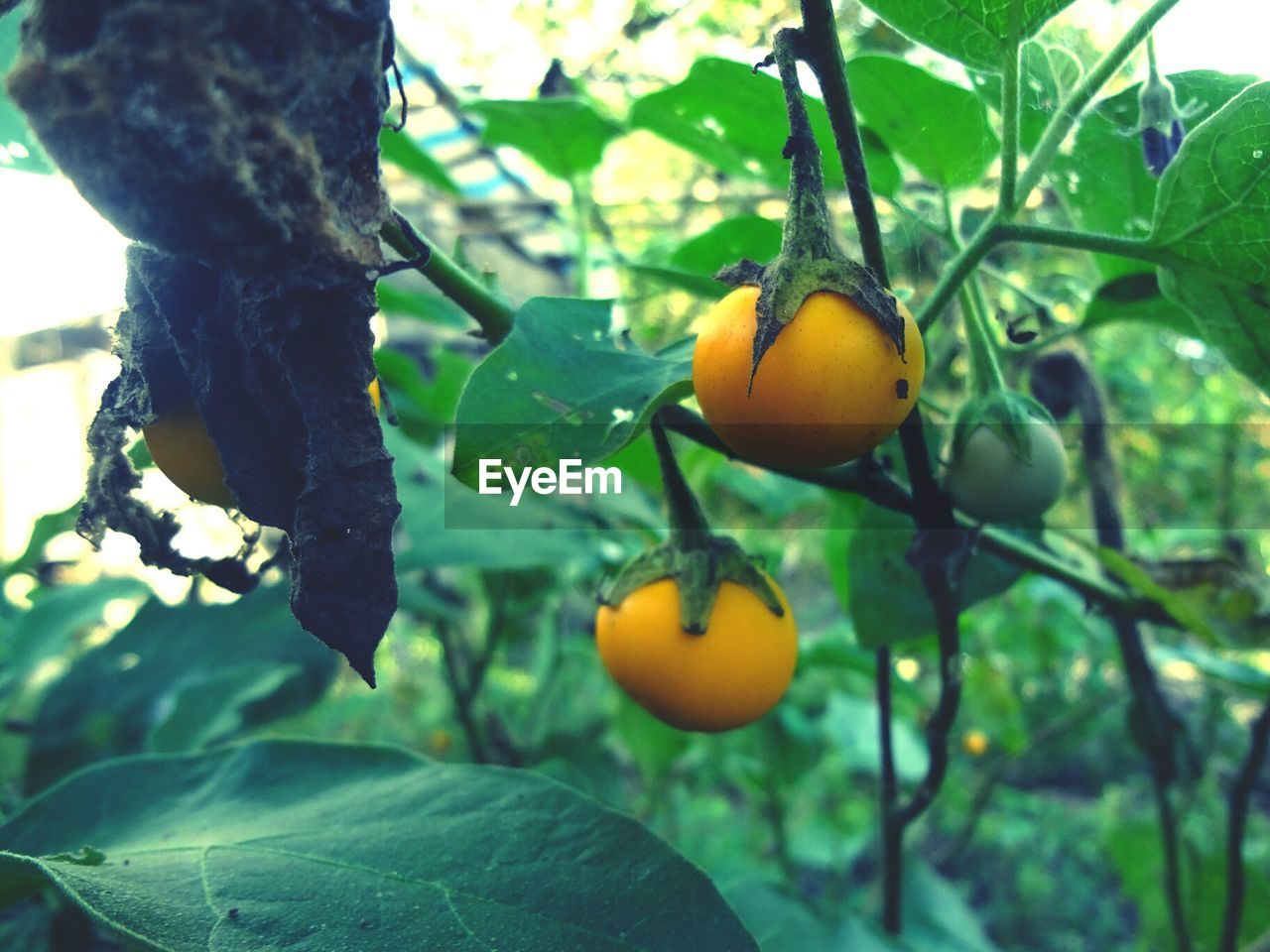 fruit, growth, food and drink, tree, leaf, citrus fruit, food, freshness, no people, hanging, branch, nature, focus on foreground, day, close-up, green color, healthy eating, outdoors, beauty in nature