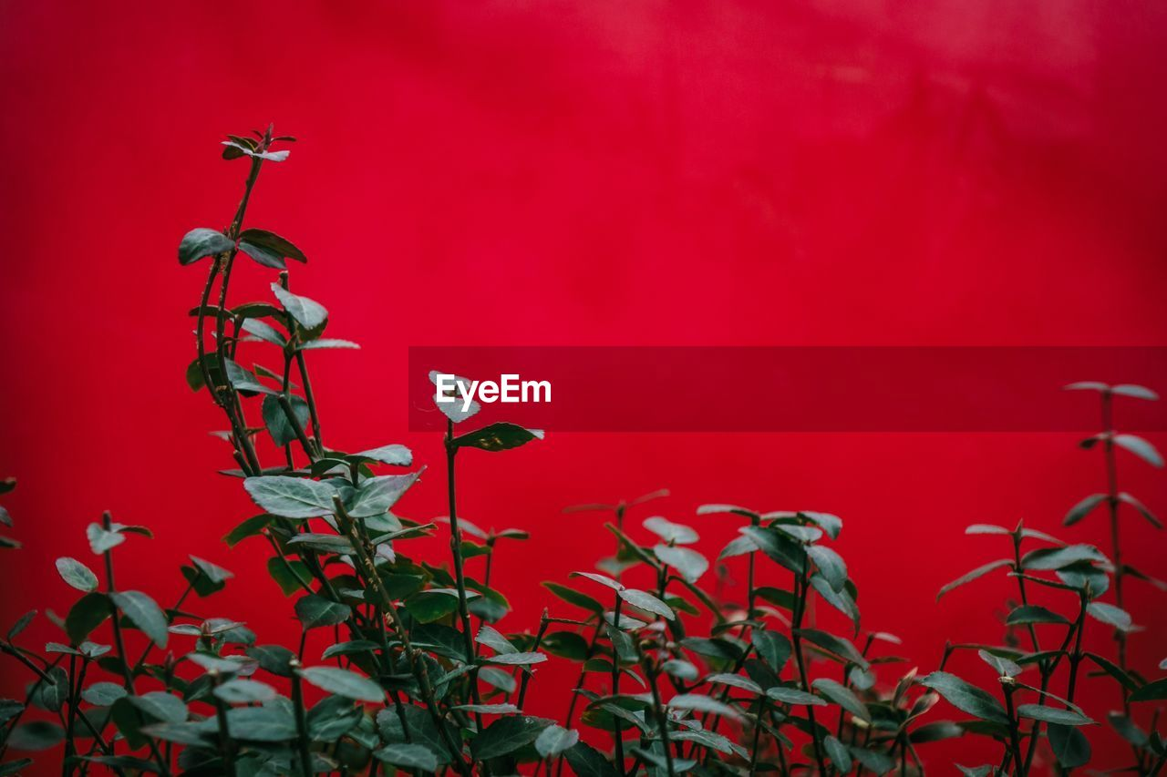 red, plant, no people, growth, close-up, beauty in nature, wall - building feature, nature, plant part, flower, leaf, day, focus on foreground, freshness, flowering plant, outdoors, plant stem, vulnerability, fragility, petal