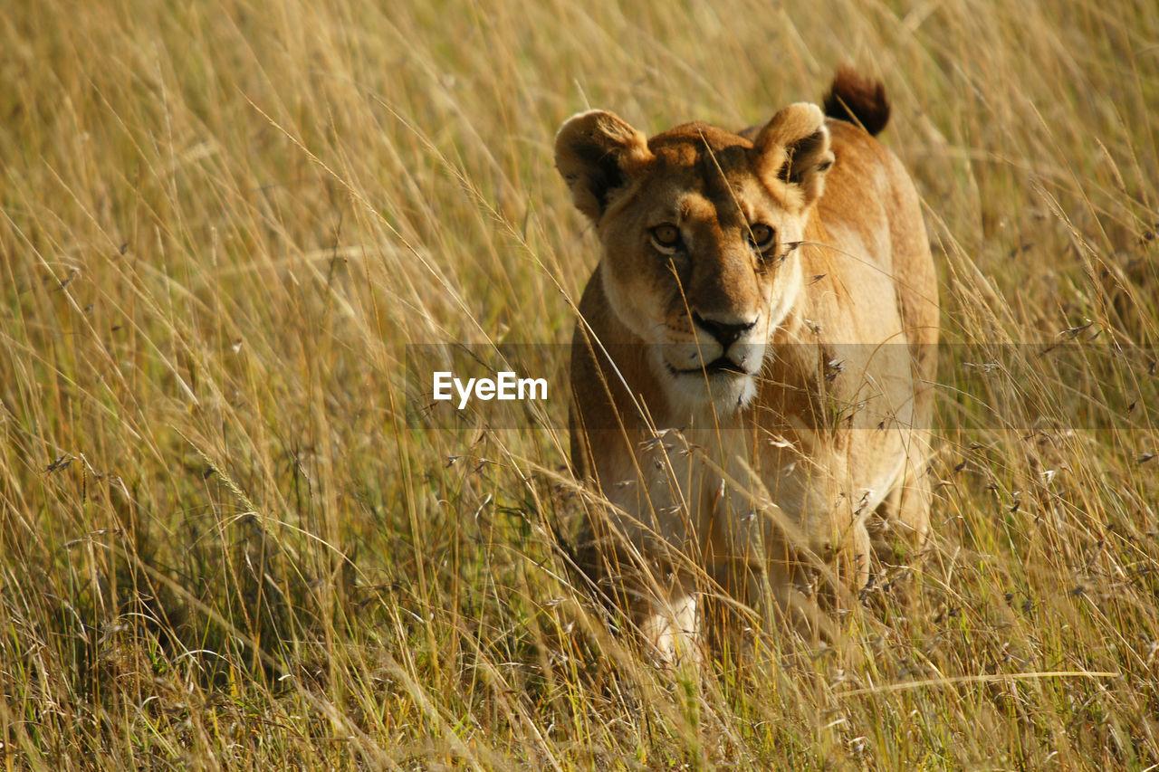 Lioness on grassy field
