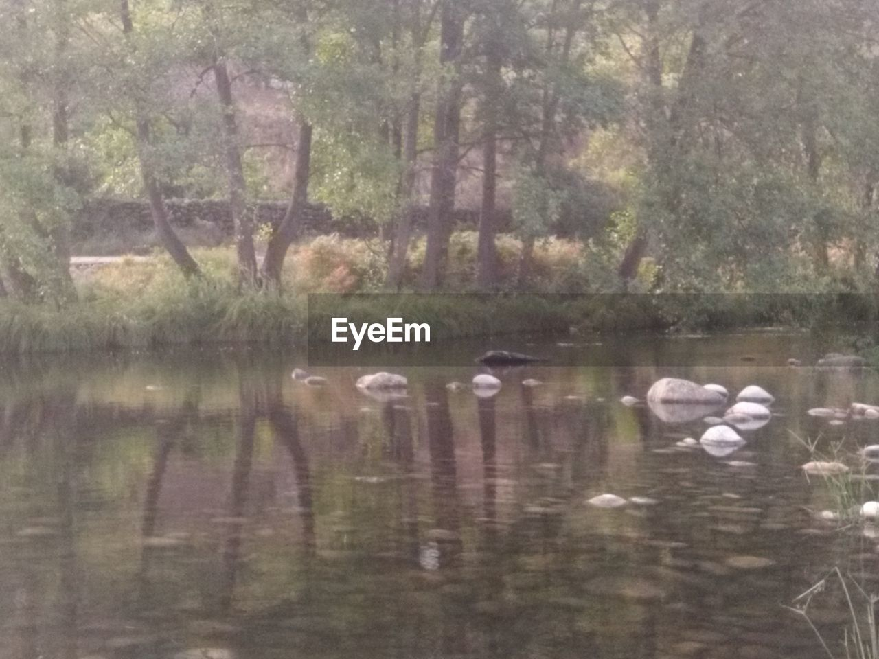 water, animals in the wild, animal themes, animal, lake, animal wildlife, group of animals, vertebrate, bird, tree, reflection, nature, waterfront, plant, day, no people, swimming, beauty in nature, large group of animals, outdoors, flock of birds, cygnet